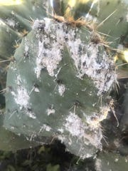 Cochineal scale insects on this prickly pear pad produce this fluffy white material.
