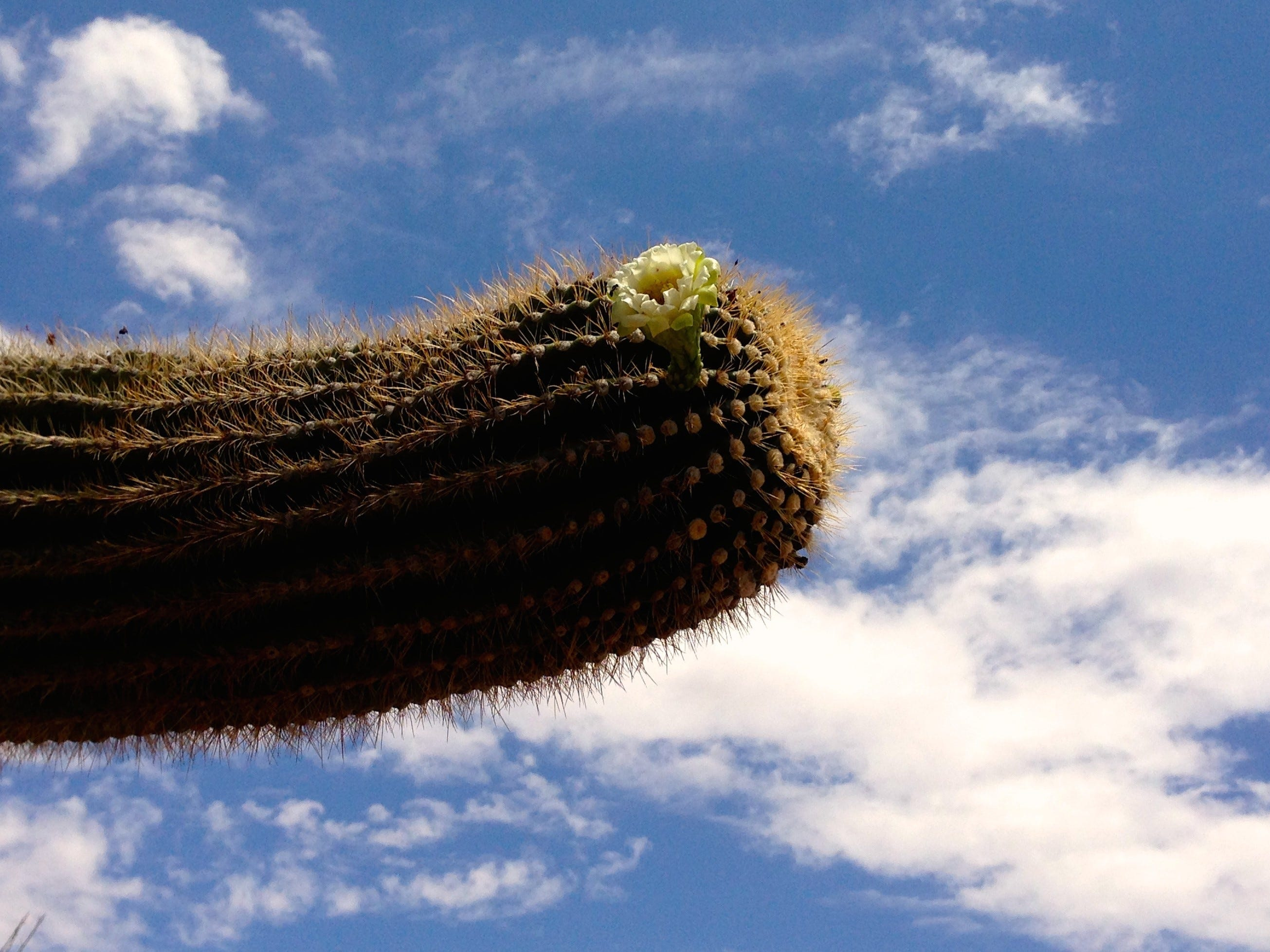 A flower blooms on the arm of a saguaro on the Jane Rau Trail.