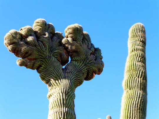 A double crested saguaro is found along the Coyote Canyon Trail.
