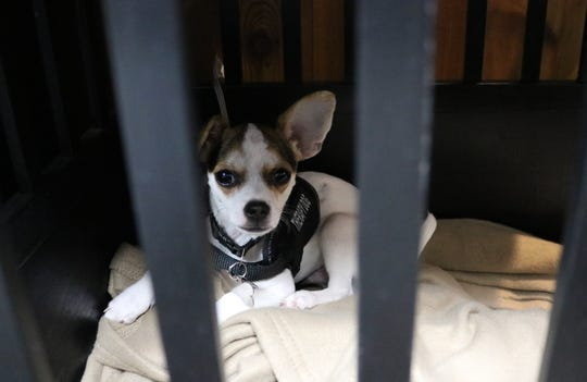 Zorro, the Marblehead Police Department's newest K-9 officer, relaxes in his kennel alongside the chief, awaiting the next service call.