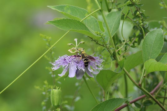 Bee on a passion flower.