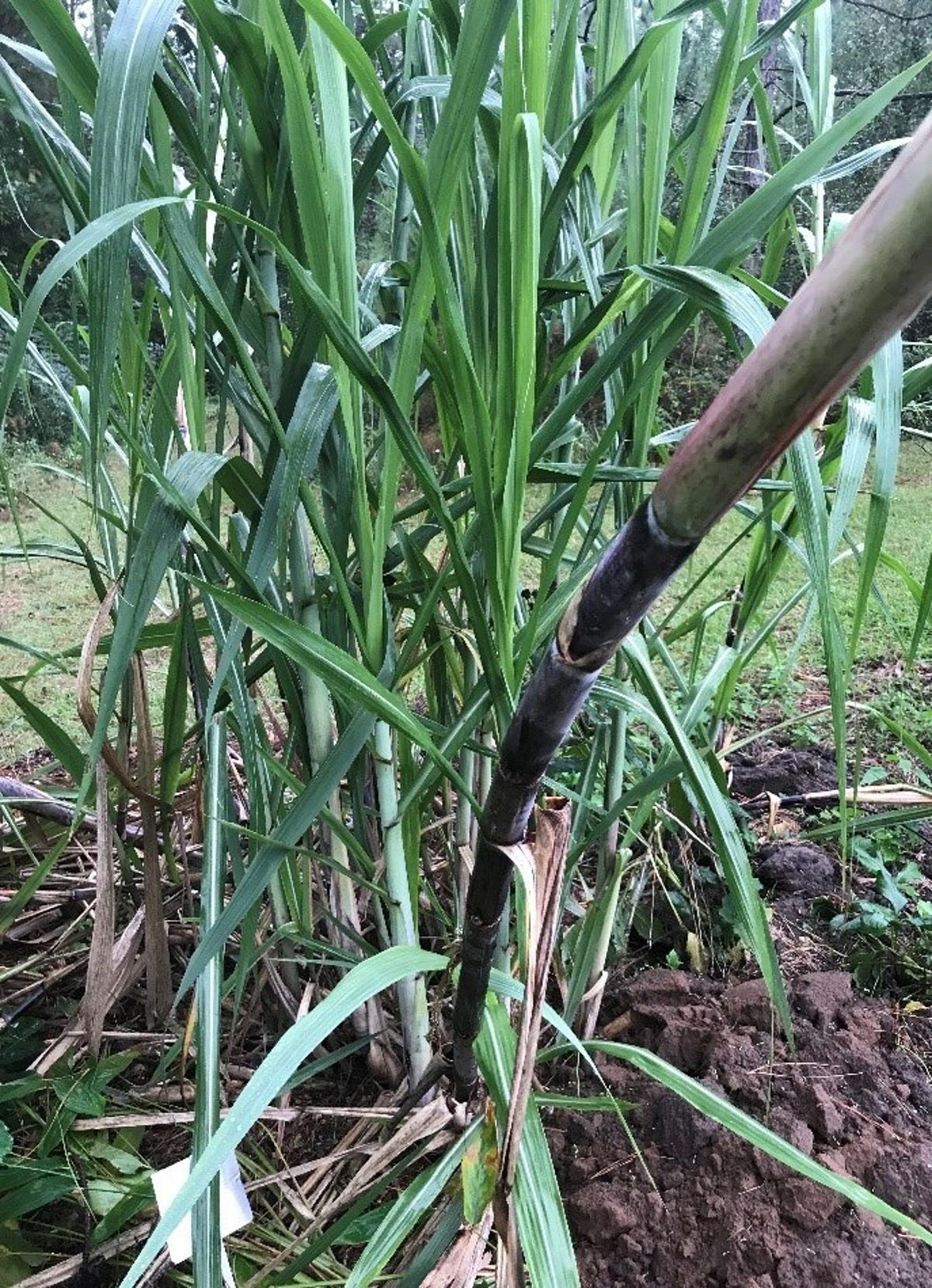 Sugar cane grows fast in humid Florida