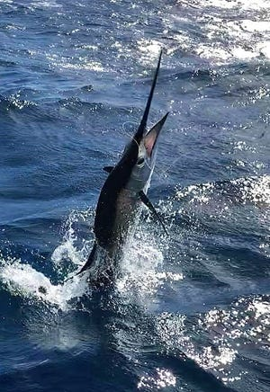 So this is what a sailfish looks like. Anglers aboard the Rebel with Capt. V.J. Bell caught a few of these during the week, but only 53 were caught in two days of the Fish Heads Quickie tournament.