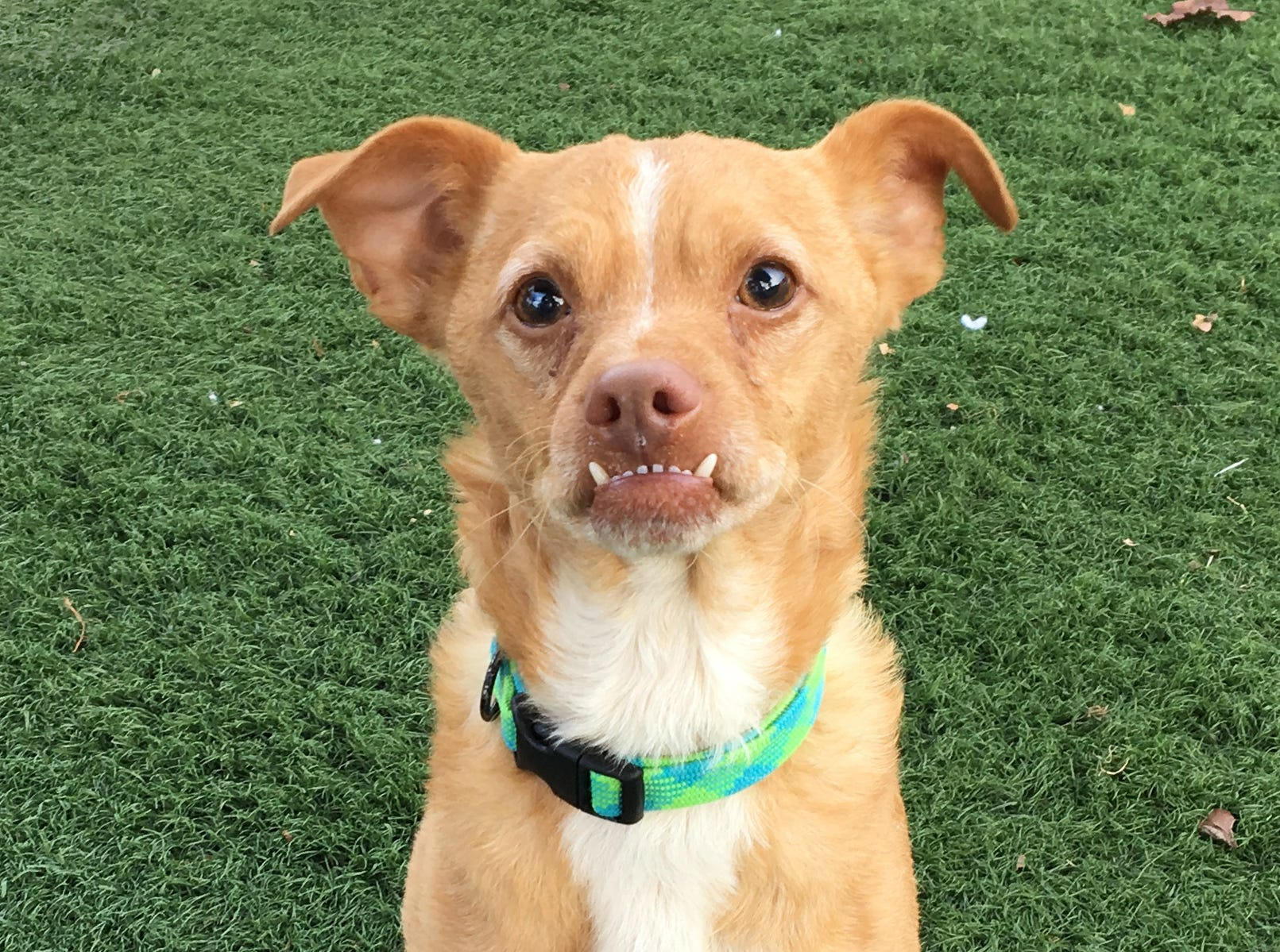 "A shelter dog with an adorable underbite and ""tusks"" that make him look like the Gruffalo is on the lookout for a permanent home. JoJo's bottom jaw juts out, meaning his pointy canines are almost always on show, just like the tusks of the beloved children's book character. While his protruding pearly whites might make him look like the fictional beast, there is nothing monstrous about the 2-year-old Chihuahua mix. In fact, JoJo, who is on the lookout for a permanent home, could not be more loving, He is a good boy who loves his stuffy toys, a good walk and a cuddle on a lap. To adopt JoJo, request A5231109. The Agoura Hills Animal Care Center is at 29525 Agoura Road, Agoura Hills. Occasionally, pets have already been adopted. To check availability, call 818-991-0071 or visit animalcare.lacounty.gov."