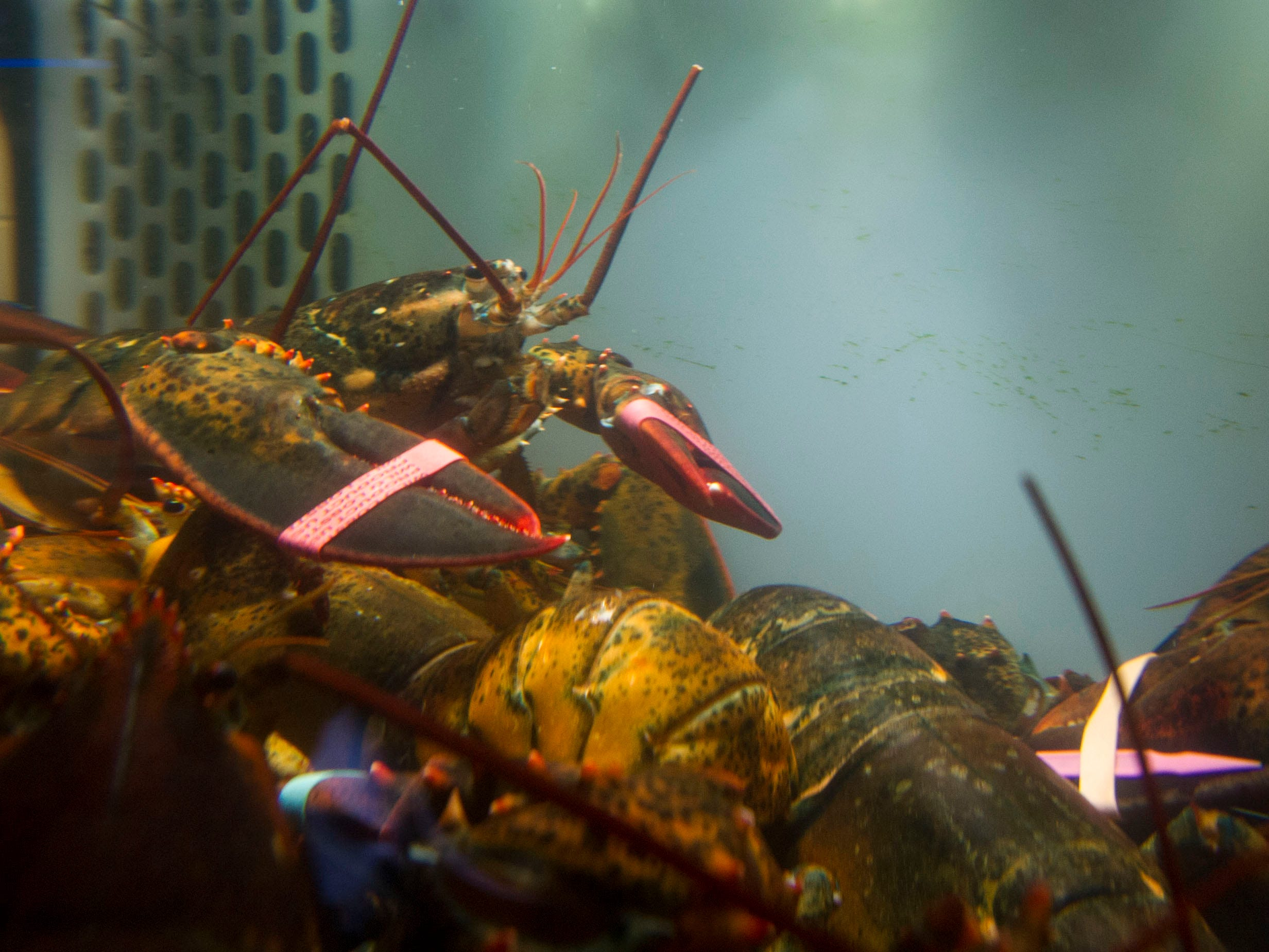 The live Lobster tank at  Chesapeake's. ( J. MILES CARY/NEWS SENTINEL )