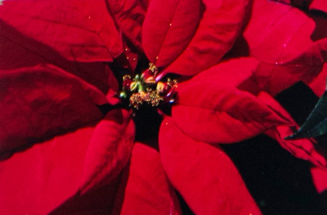 The red poinsettia remains the most popular plant for the Christmas holiday. Keep plant at average room temperature and water only when soils feels dry to the touch. Richard Poffenbaugh Photo.