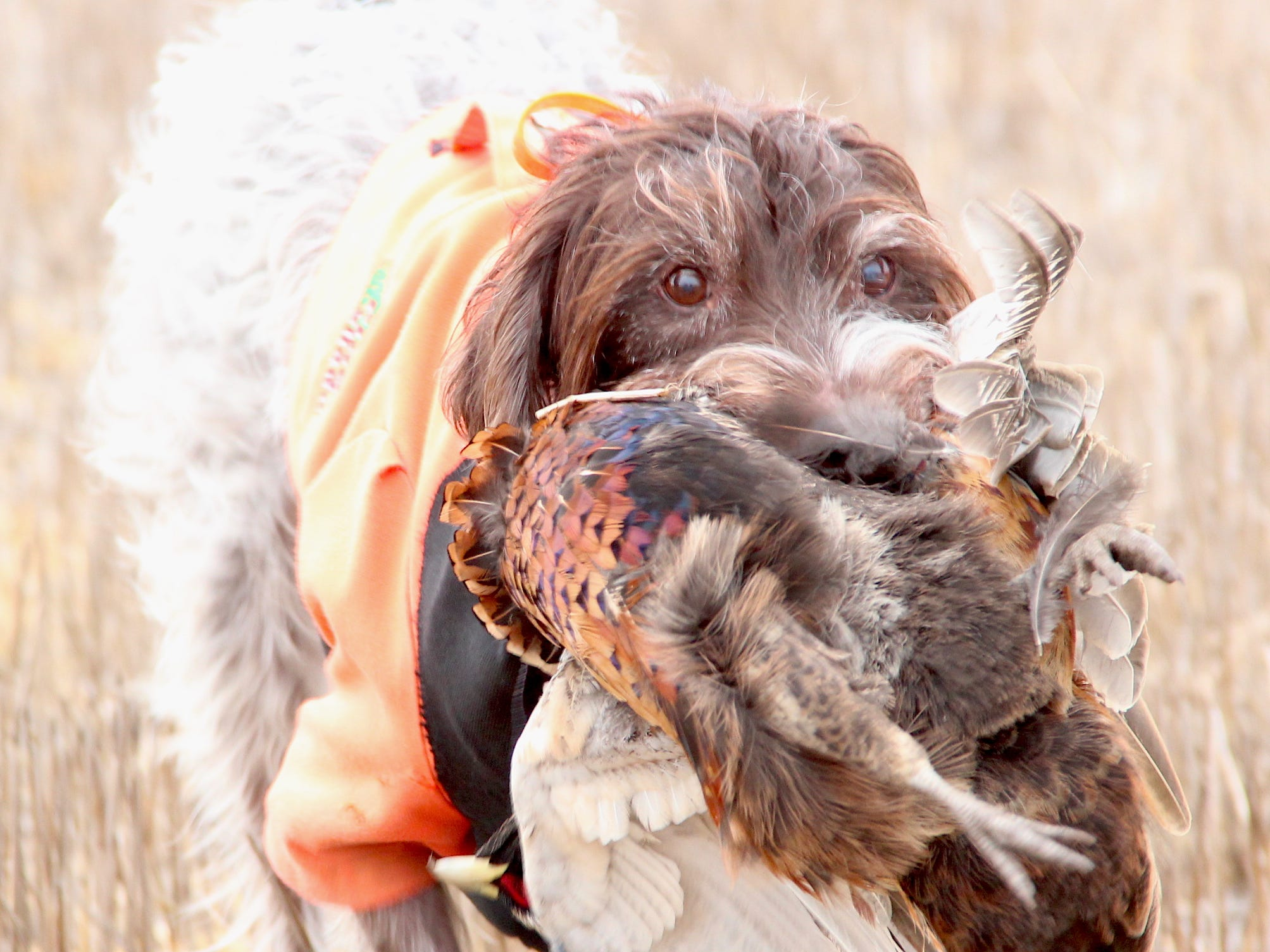 Gretchen, a 13-year-old wirehaired pointing griffon owned by Casey Weismantel of Aberdeen, South Dakota, retrieves a ring-necked pheasant during a hunt near Aberdeen.