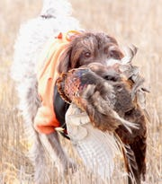 Gretchen, a 13-year-old German wirehaired pointer owned by Casey Weismantel of Aberdeen, South Dakota, retrieves a ring-necked pheasant during a hunt near Aberdeen.