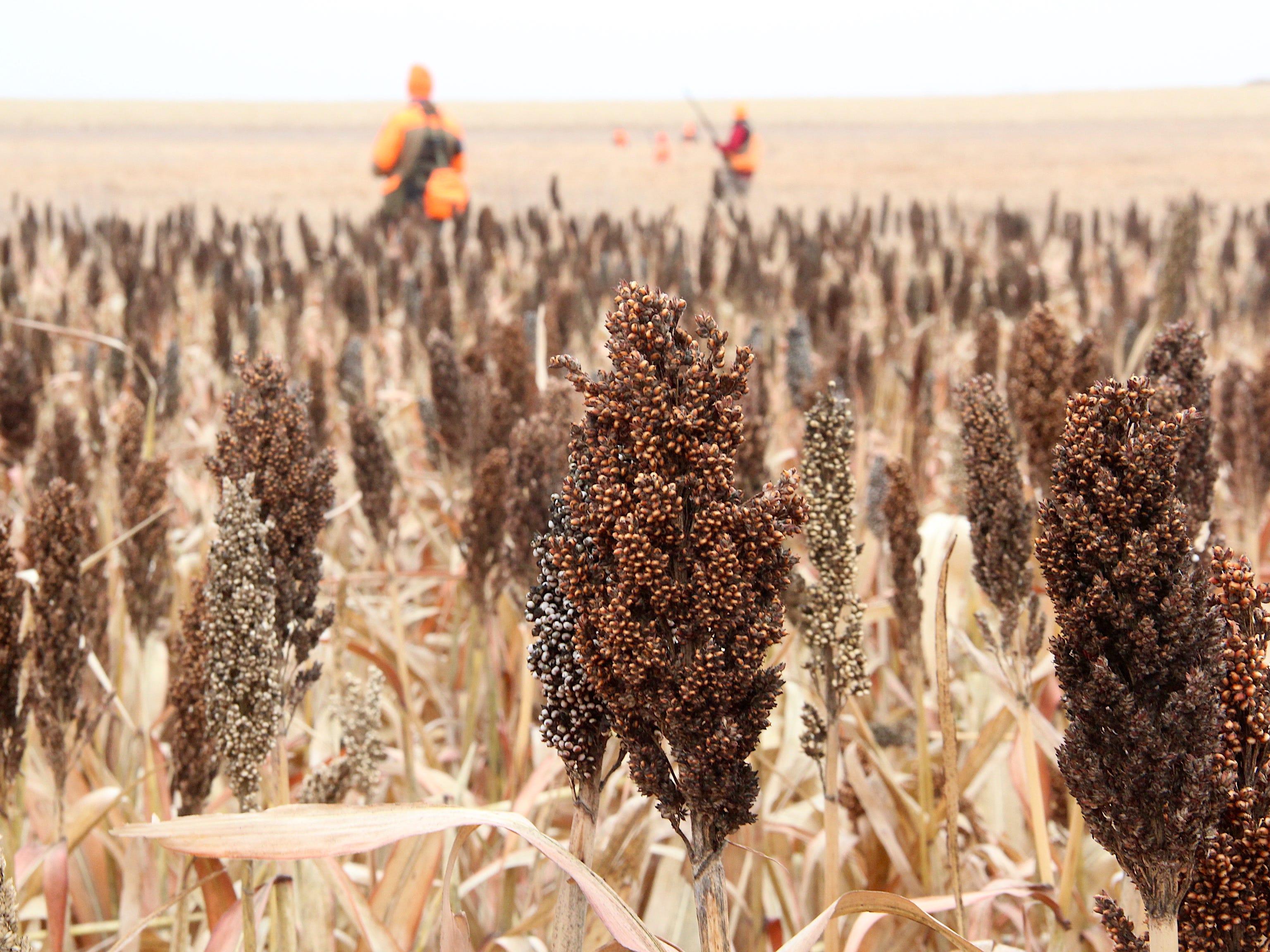 Heads of grain sorghum dot a field at Johannsen Farm southwest of Aberdeen, South Dakota.