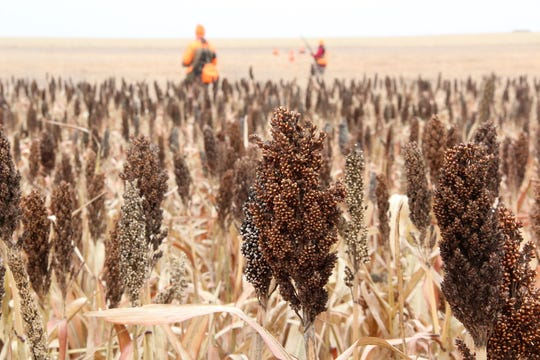 Heads of grain sorghum dot a field at Johannsen Farm southwest of Aberdeen, South Dakota.