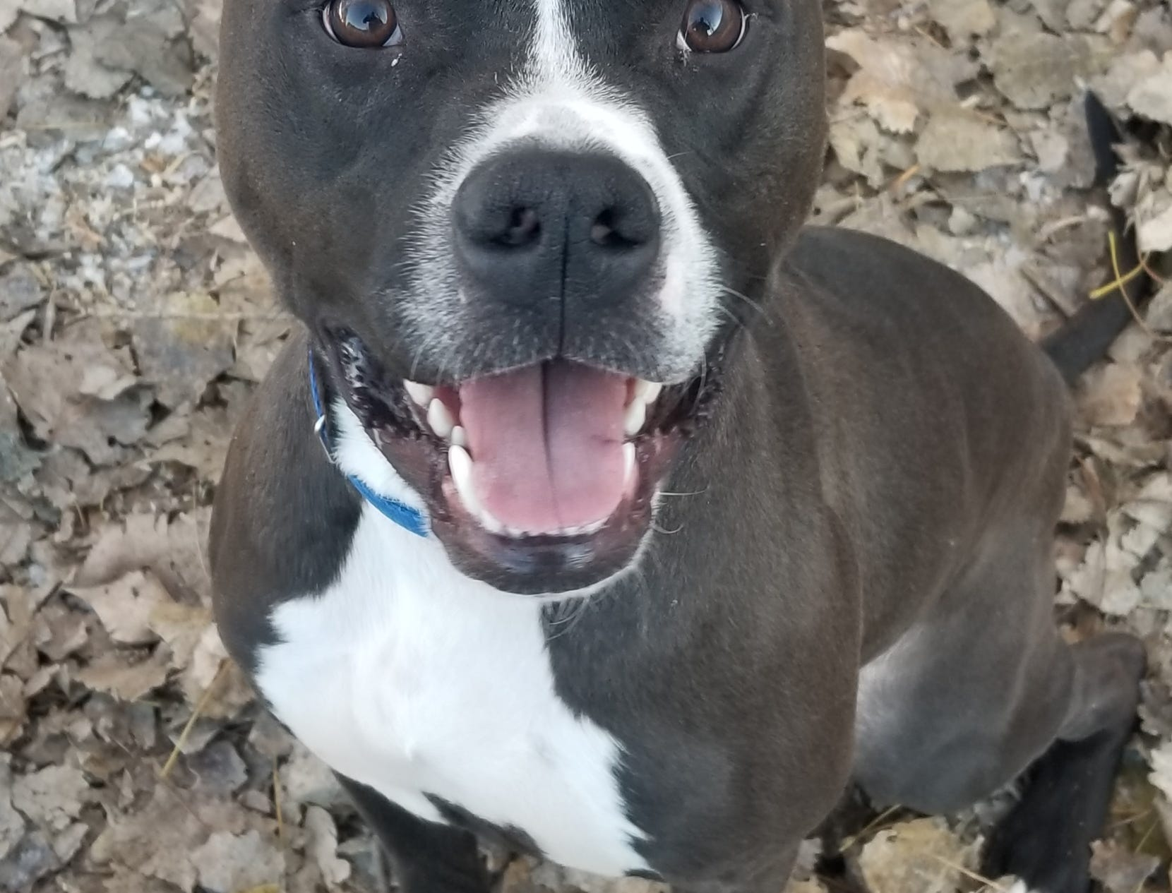 Ranger, a 1-year-old mixed breed, loves squeaky toys and playing fetch. He is neutered.