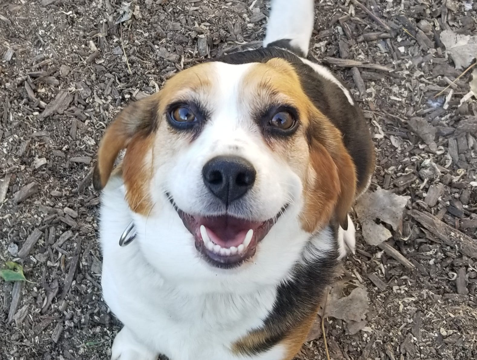 Goldie, a 5-year-old beagle mix, is sweet, active, happy, fun and curious. She is spayed.