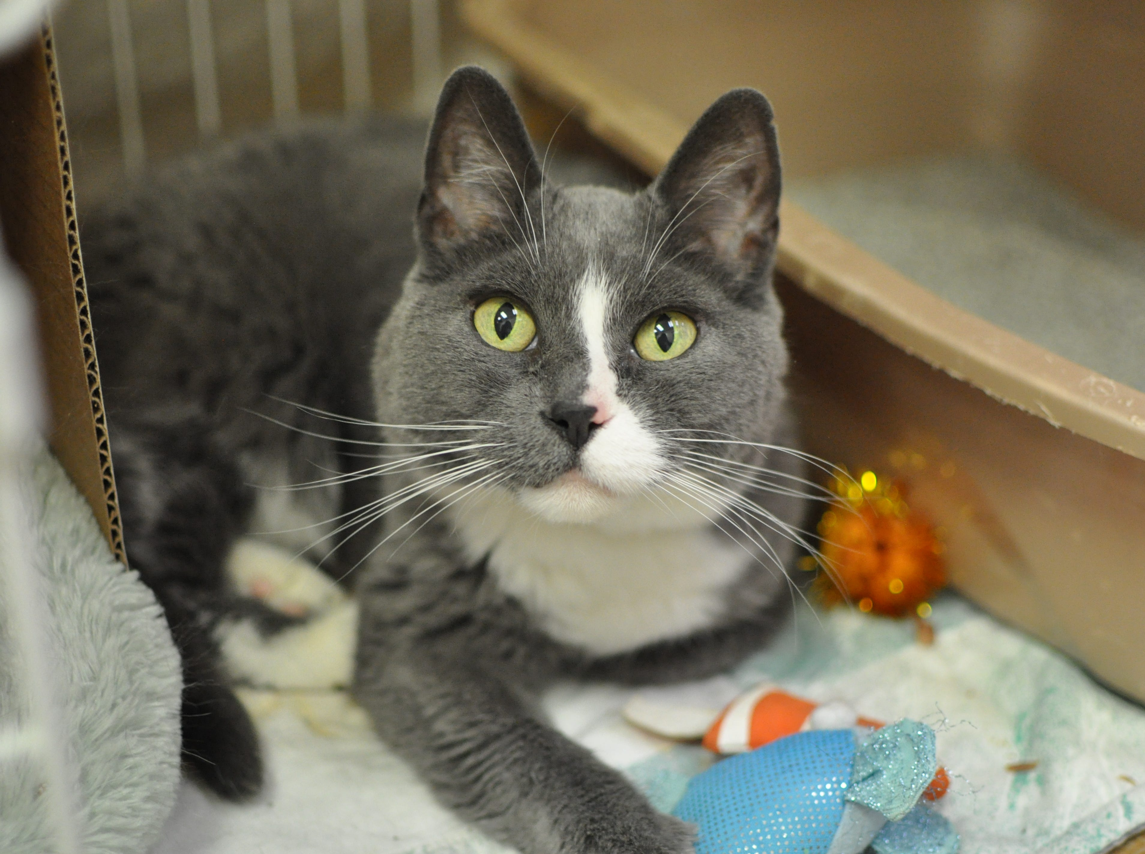 Flash, 12, loves cuddling with her person and other cats. She is spayed.