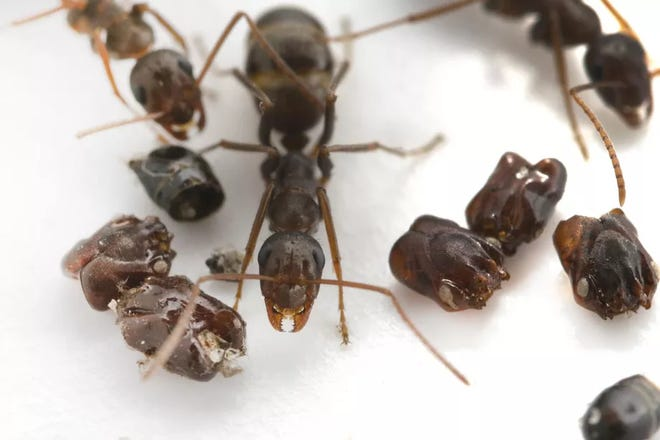 A Formica archboldi ant, which is native to Florida, is pictured with the remains of trap jaw ants.