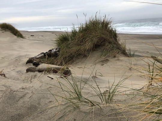 Marram grass on sand dune at the Oregon Coast