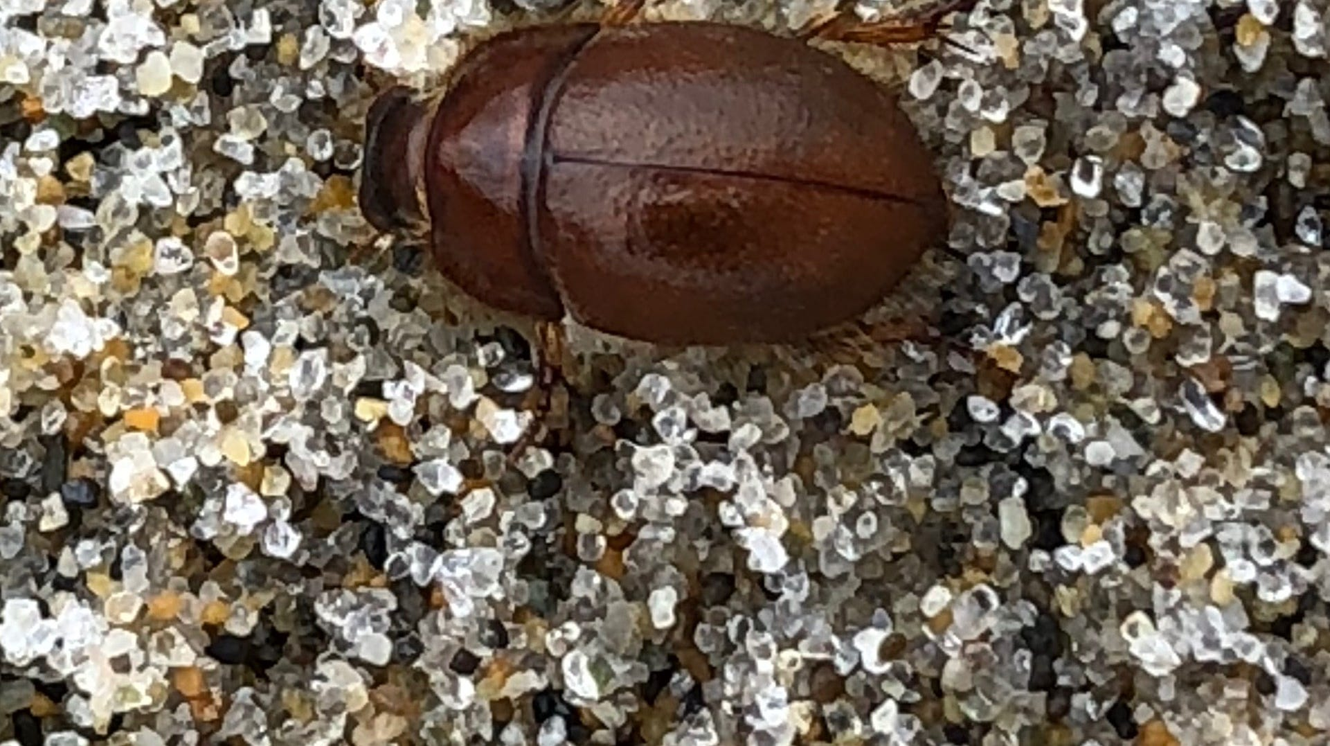 A kelp beetle at the Oregon Coast.