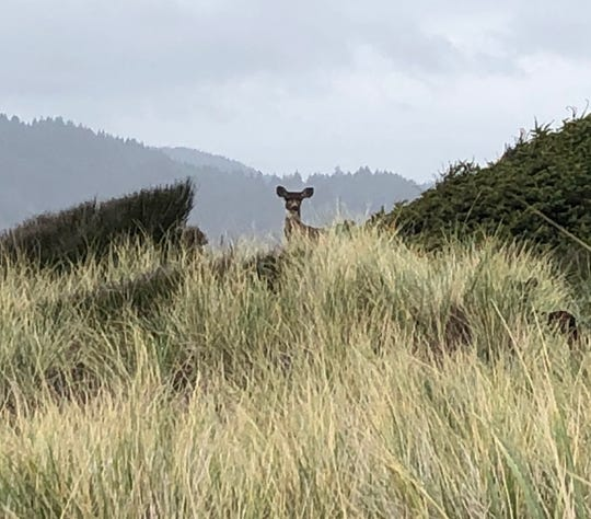 A black tailed deer at the sand dunes at the Oregon Coast
