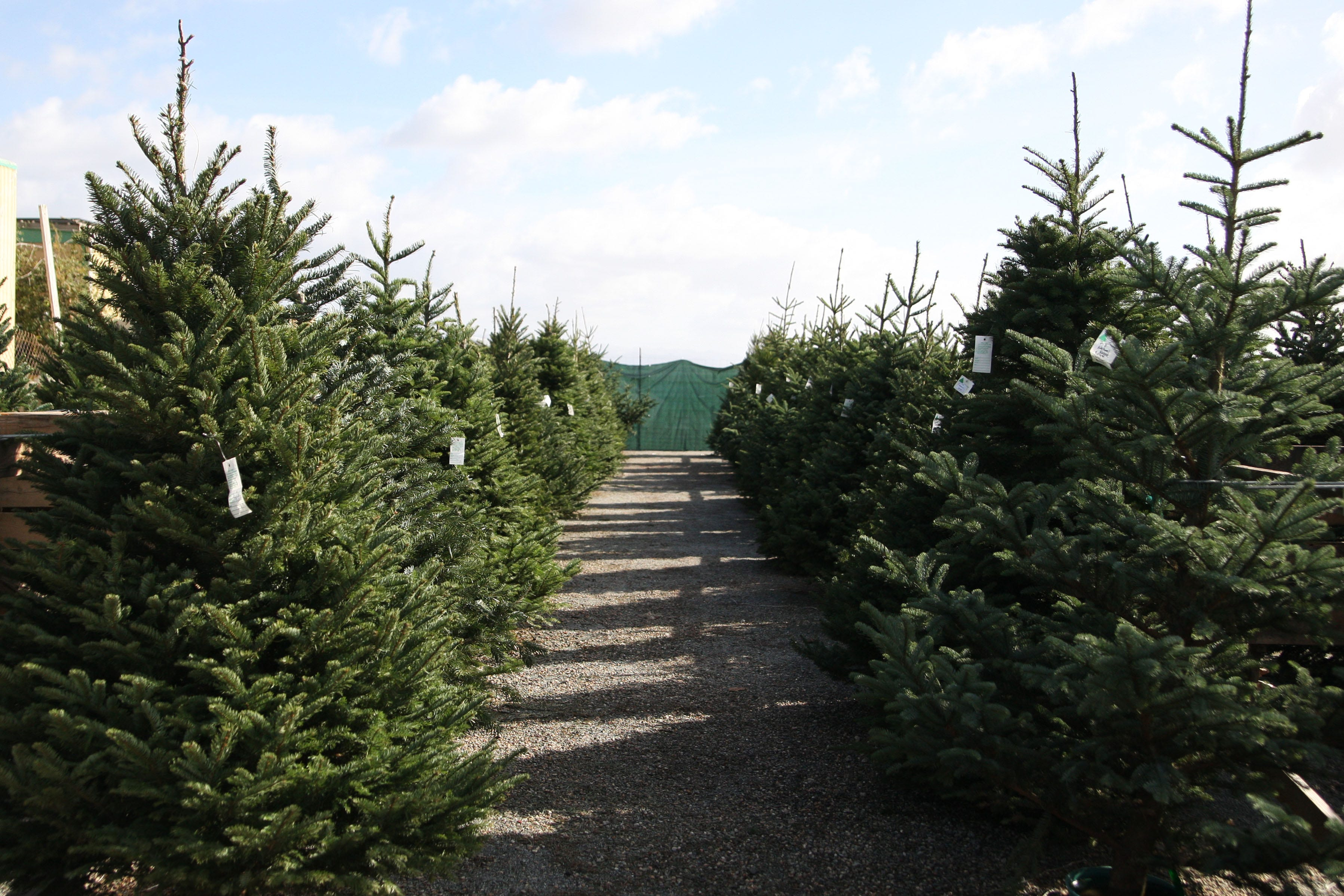 Here S How To Get Rid Of Your Christmas Tree In Monterey County