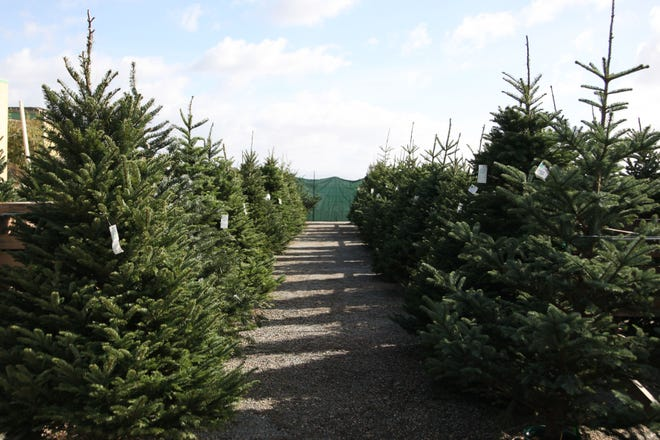 Trees line the aisles of Christmas tree lots across Monterey County.