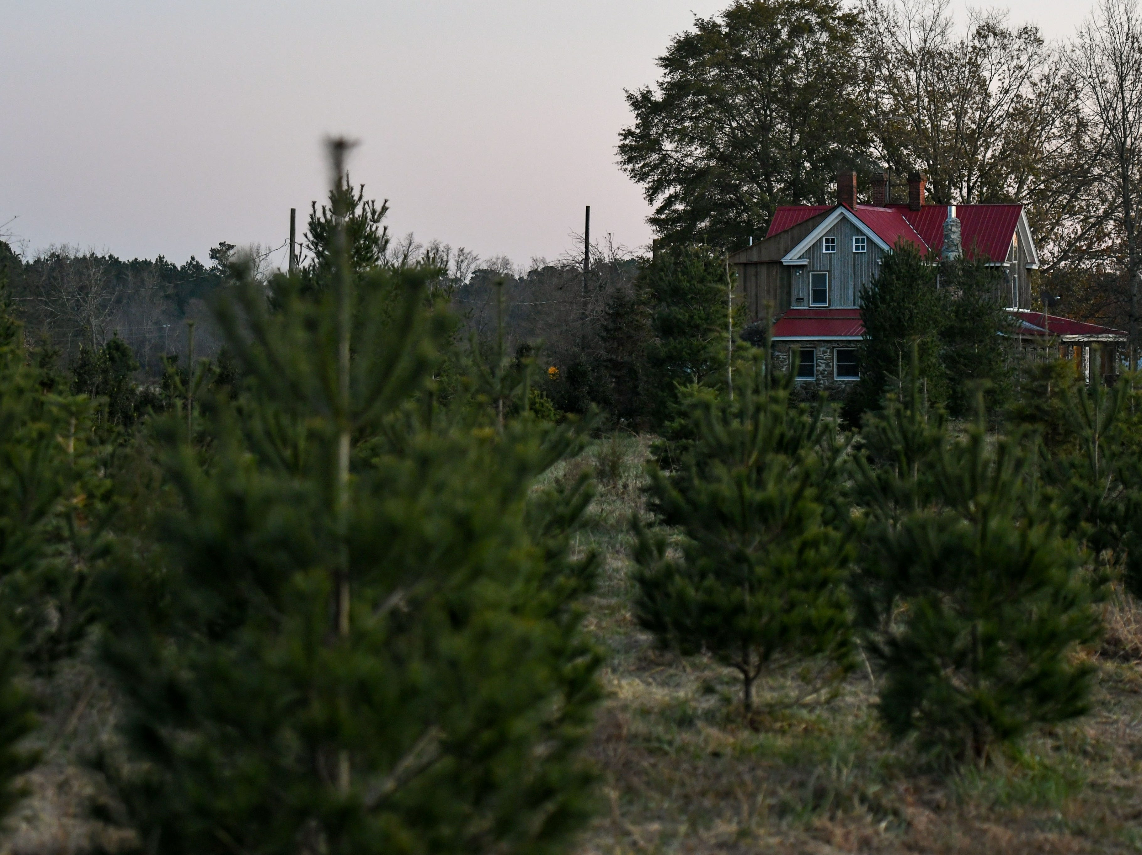 Christmas trees sit ready to be chosen on Nichols Tree Farm in Hebron on Thursday, Nov 30, 2018.
