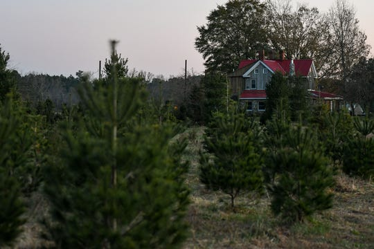 Christmas trees sit ready to be chosen on Nichols Tree Farm in Hebron on Thursday, Nov 30, 2018.