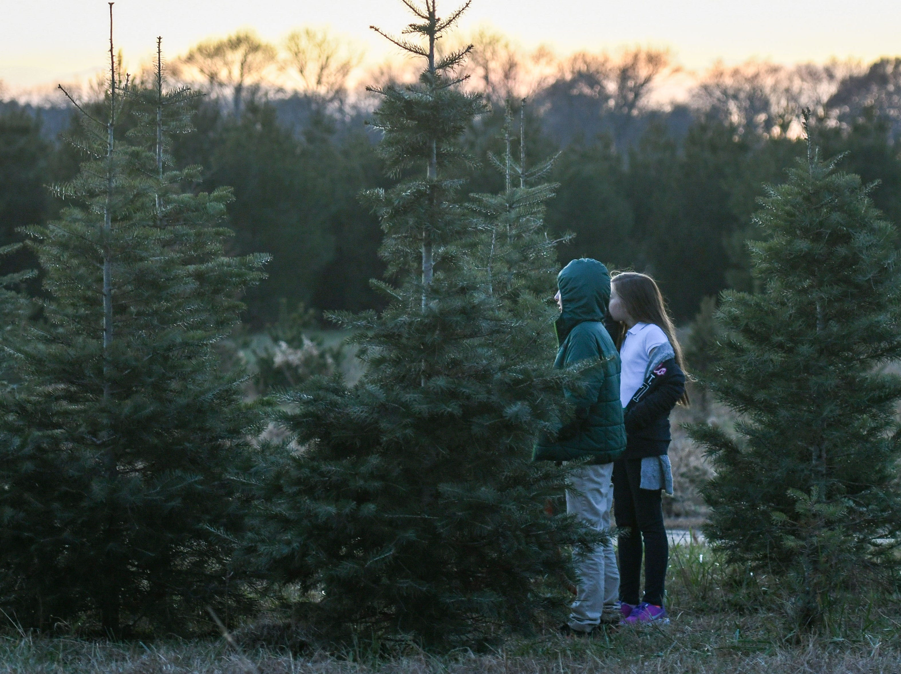 10-year-old twins Brody and Rylin Nichols search for a tree with their family at Nichols Tree Farm in Hebron on Thursday, Nov 30, 2018.