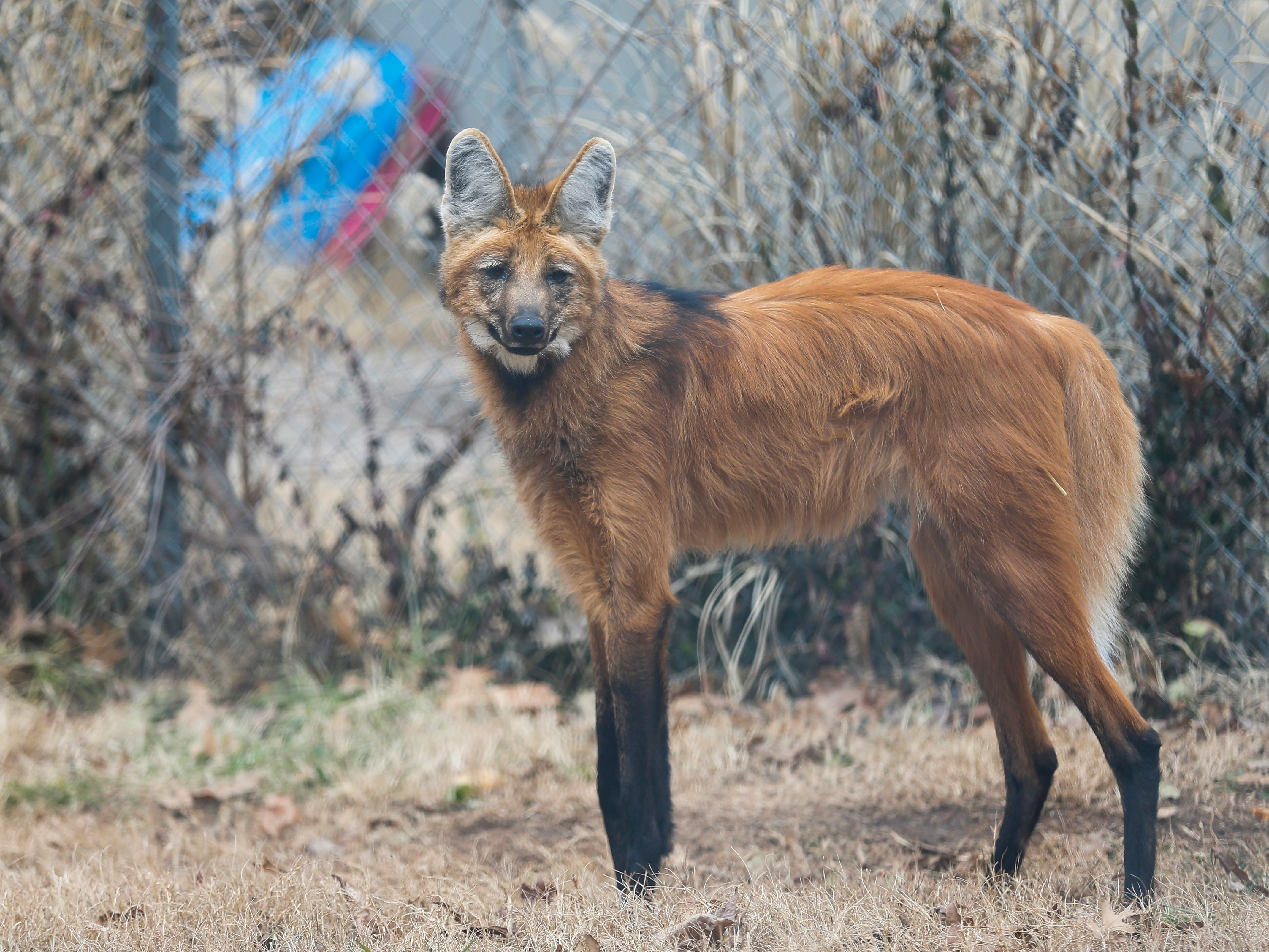The maned wolf, which is often called a fox on stilts because of its fox-like appearance, is found in South America.