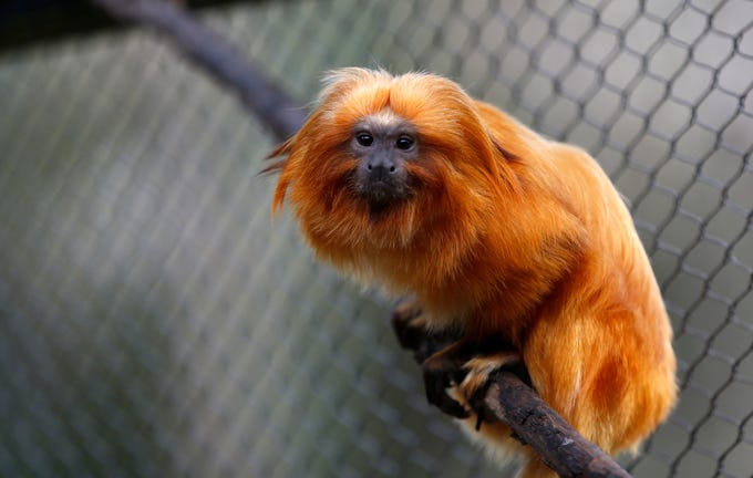 Bianca the golden lion tamarin is an endangered species native to Brazil.