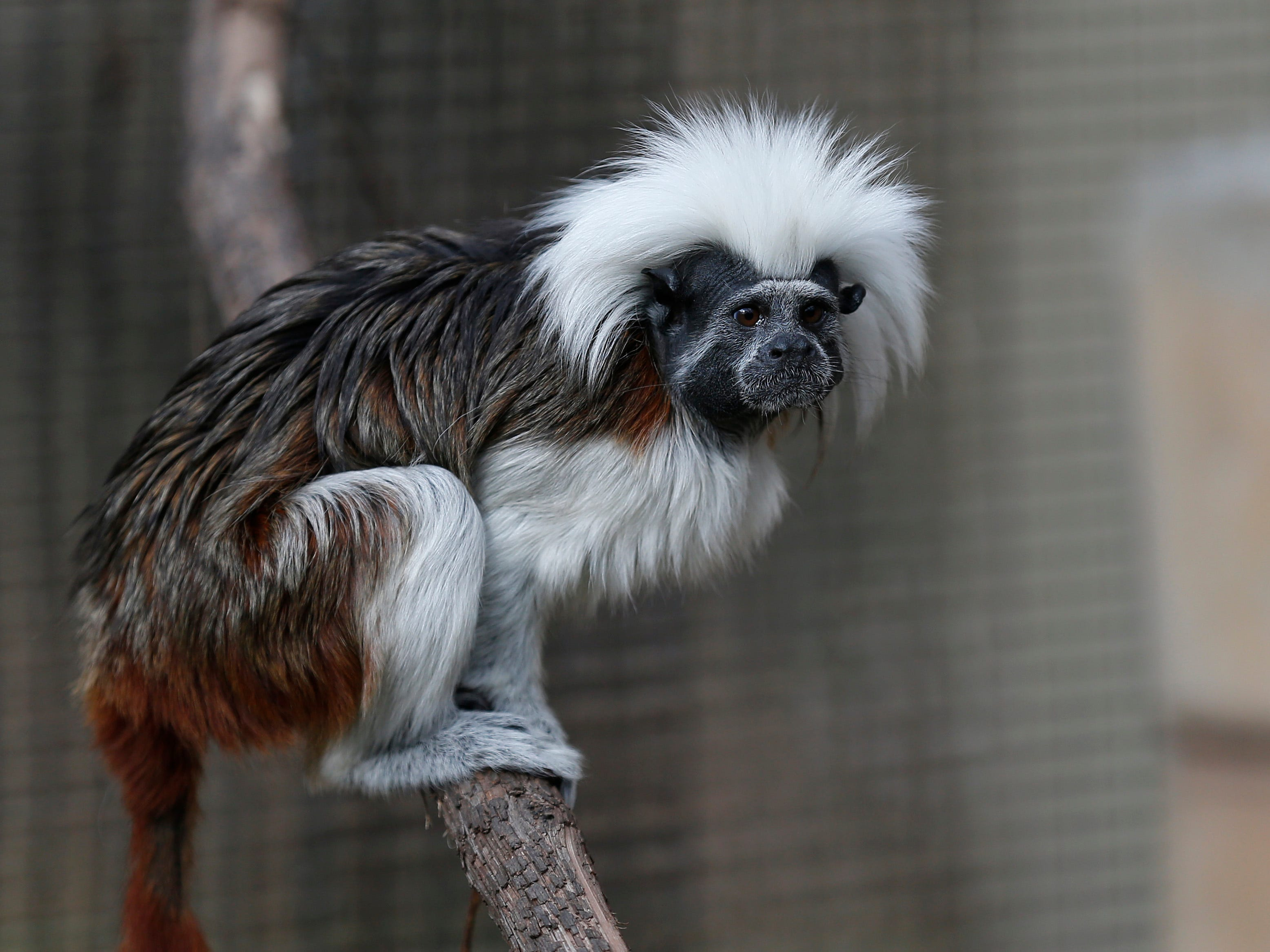 Cotton-top Tamarin with its distinct white tuft of hair is found only in northwestern Columbia and is an endangered species.