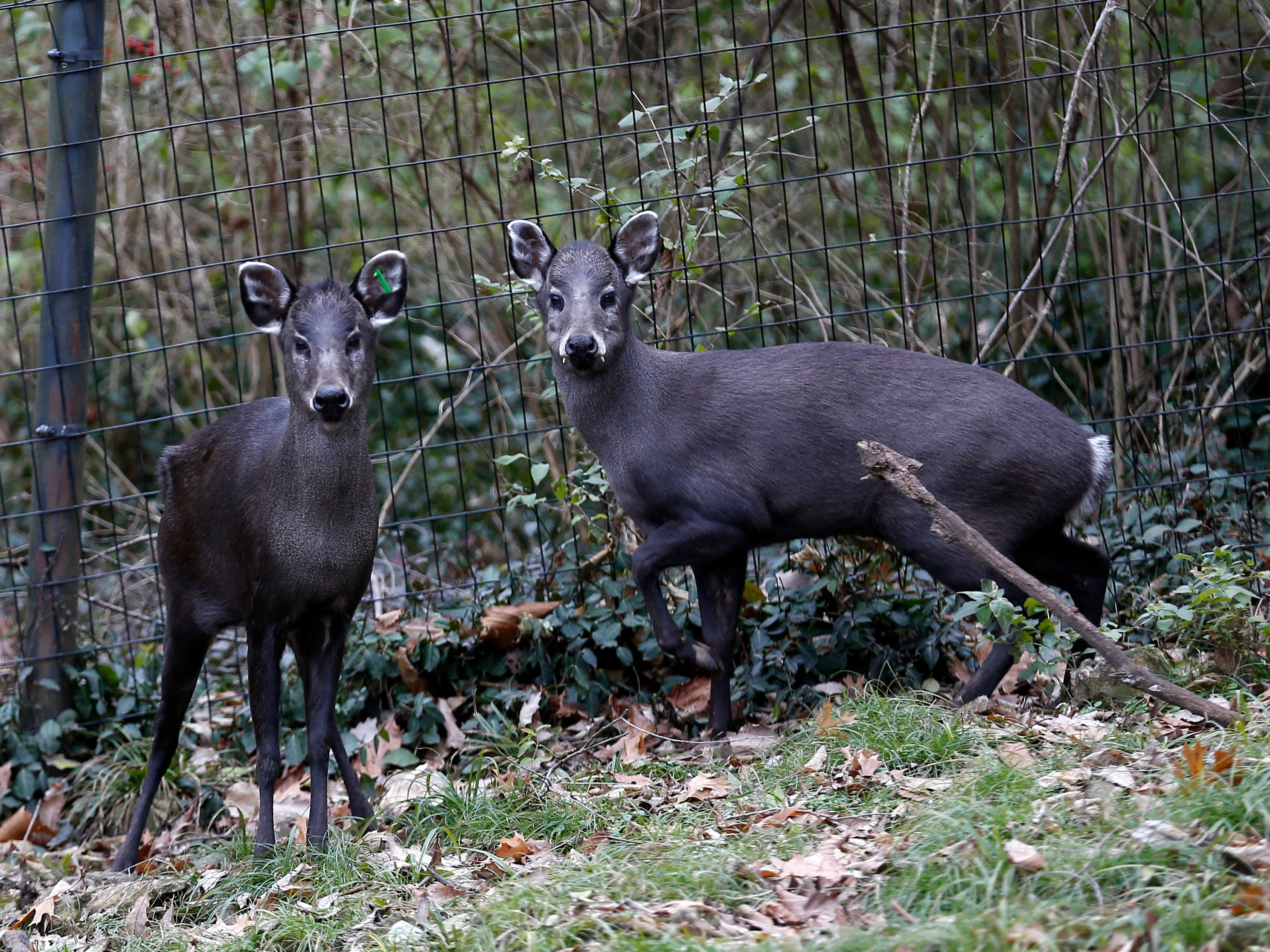 The tufted deer is found in Asia and the male deers can be identified by fangs protruding from their mouth.