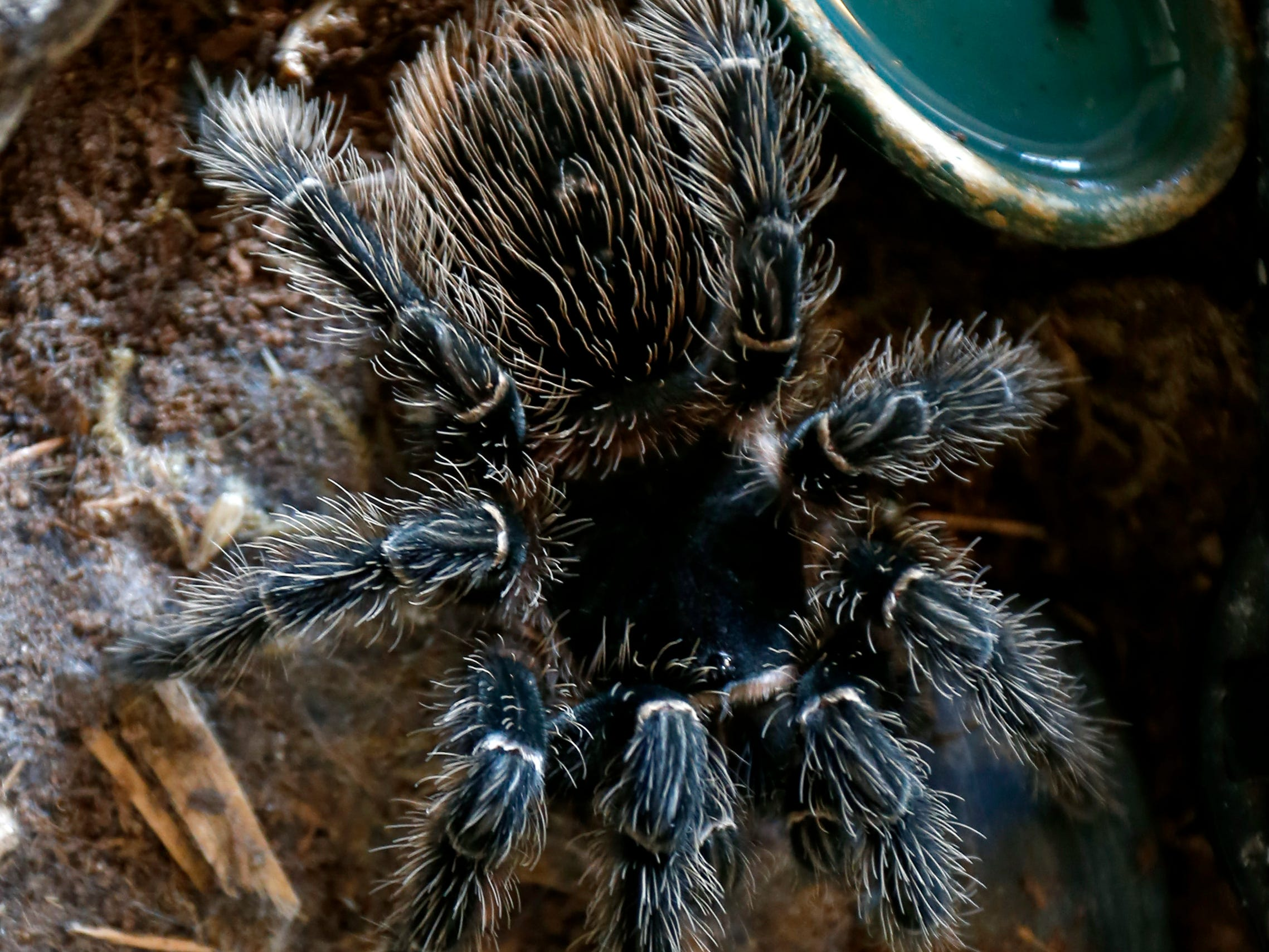 The Brazilian salmon pink birdeater is a large tarantula found in eastern Brazil and can have a leg span of up to up to 10 inches.