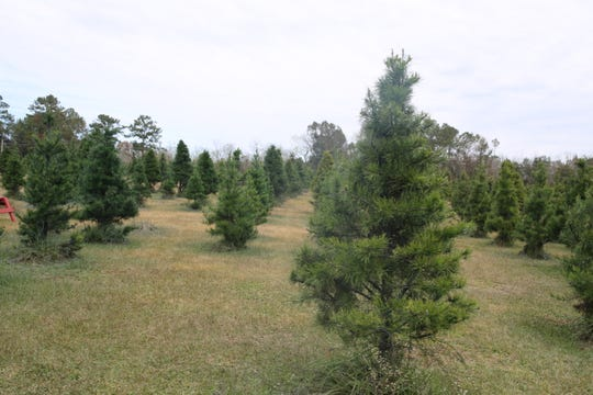 More than 15,000 trees grown on the 27 acres of the Havana Christmas Tree Farm.
