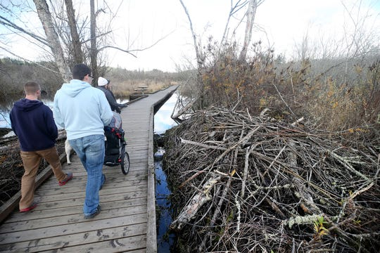 Hikers walk past a large beaver dam next to the wooden boardwalk at the Clear Creek Trail in Silverdale on Friday, November 30, 2018.
