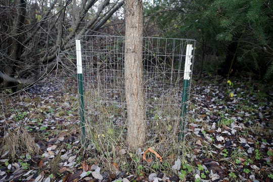 Trees are protected with wire from the beavers at the Clear Creek Trail in Silverdale on Friday, November 30, 2018.