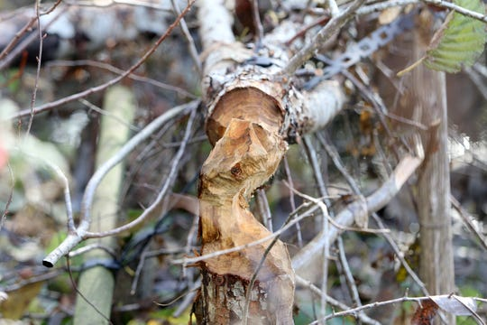Freshly cut tree by beavers at the Clear Creek Trail in Silverdale on Friday, November 30, 2018.