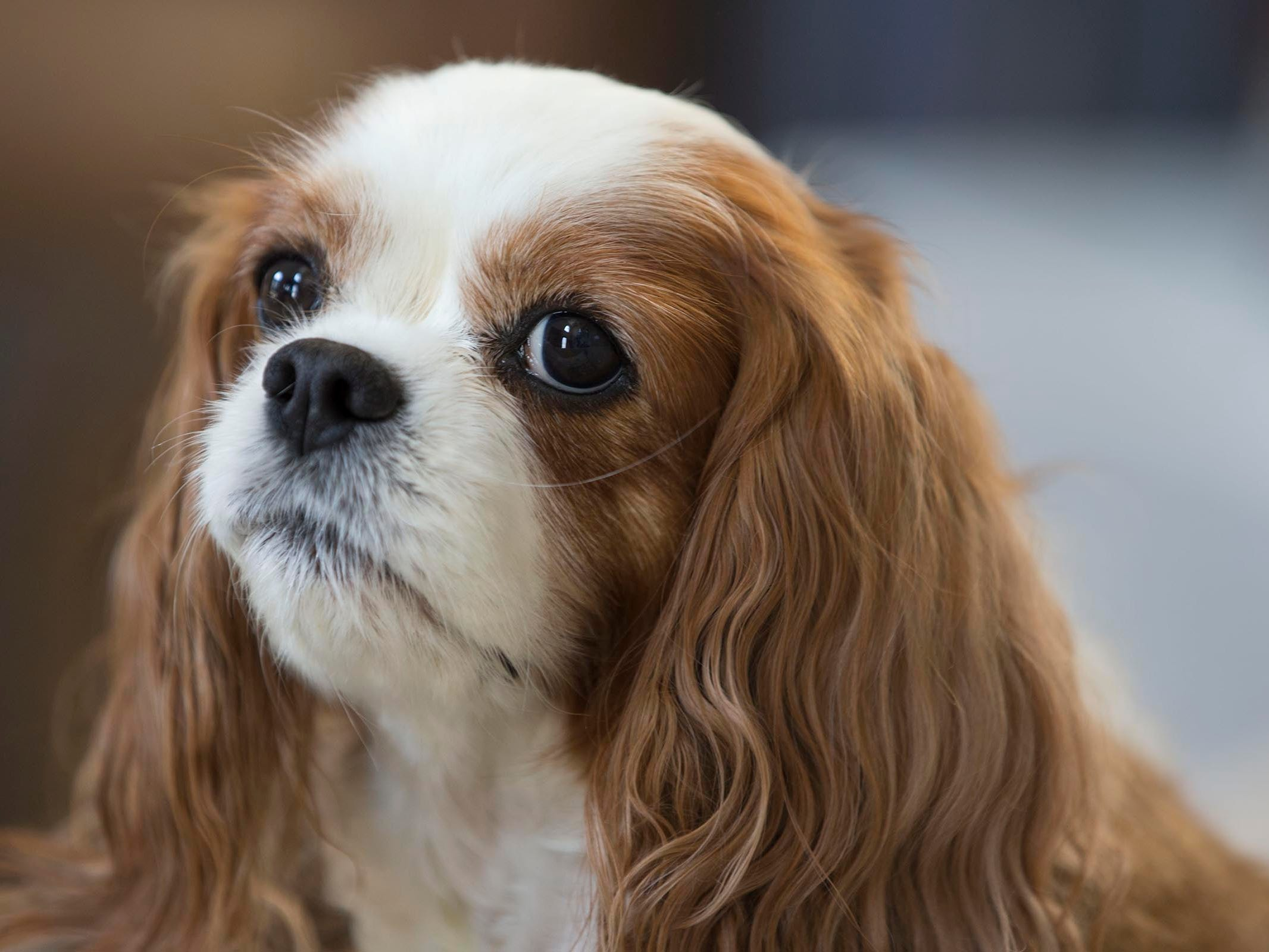 Cathy Cuni of Howell brought her King Charles Cavalier Spaniel to Japan for heart surgery after finding out the dog had a heart murmur along with a severely enlarged heart.  Howell, NJ on Wednesday, July 11, 2018