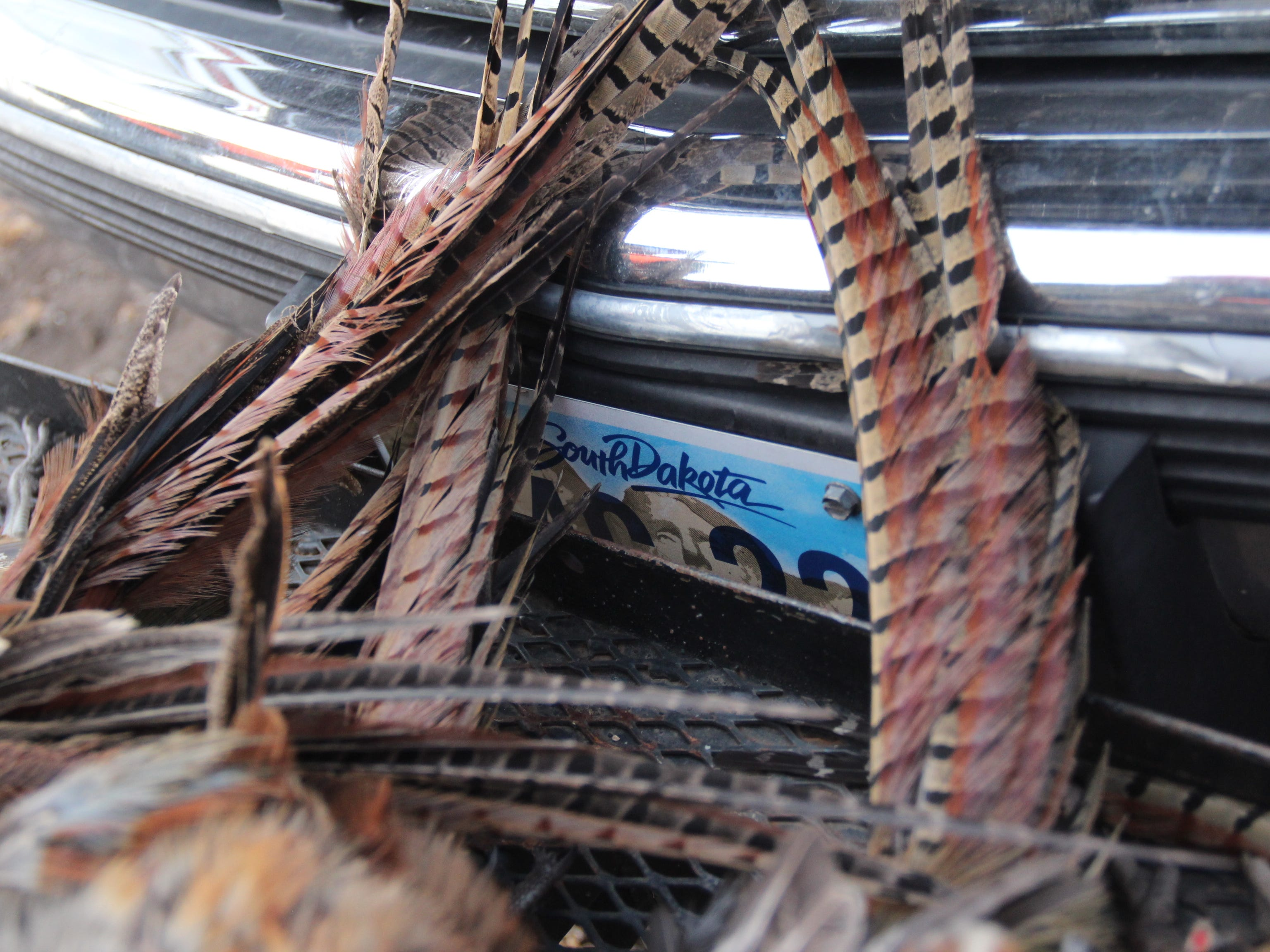 Tail feathers of cock ring-necked pheasants frame a license plate on the front of a vehicle during a November, 2018 hunt near Aberdeen, South Dakota.