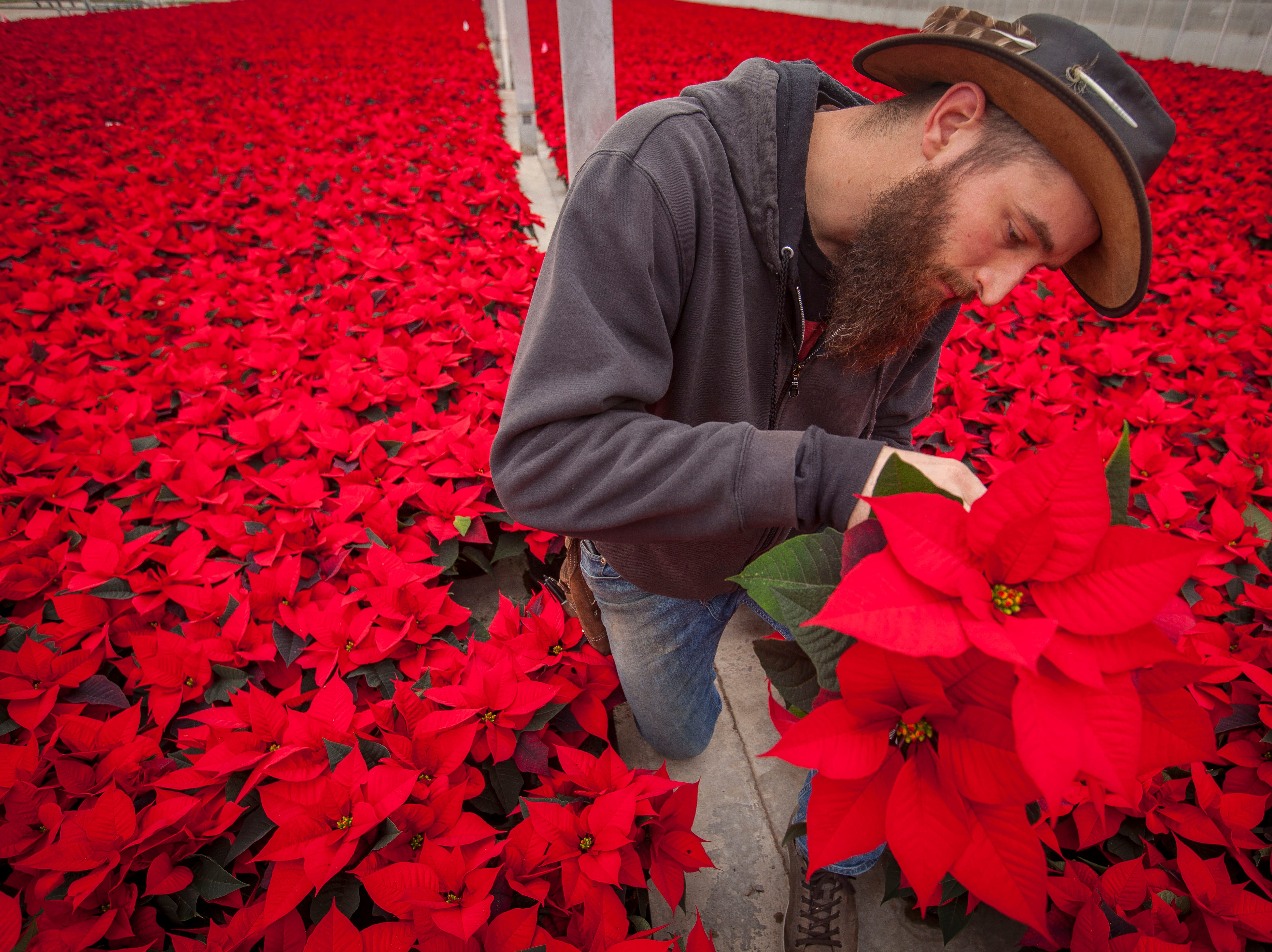 John Cunliffe, assistant head grower at Smith Gardens in Aurora, Oregon, inspects a 1.5 quart red poinsettia plant for the whitefly, a common poinsettia pest Friday November 30, 2018. Smith Gardens uses a biological approach to handling the insect by introducing beneficial predatory insects to fight the flies and reduce the need for pesticides. Cunliffe is inspecting the plants before they are packaged for one of the last shipments of the year in early December. The plants go to local big box stores.