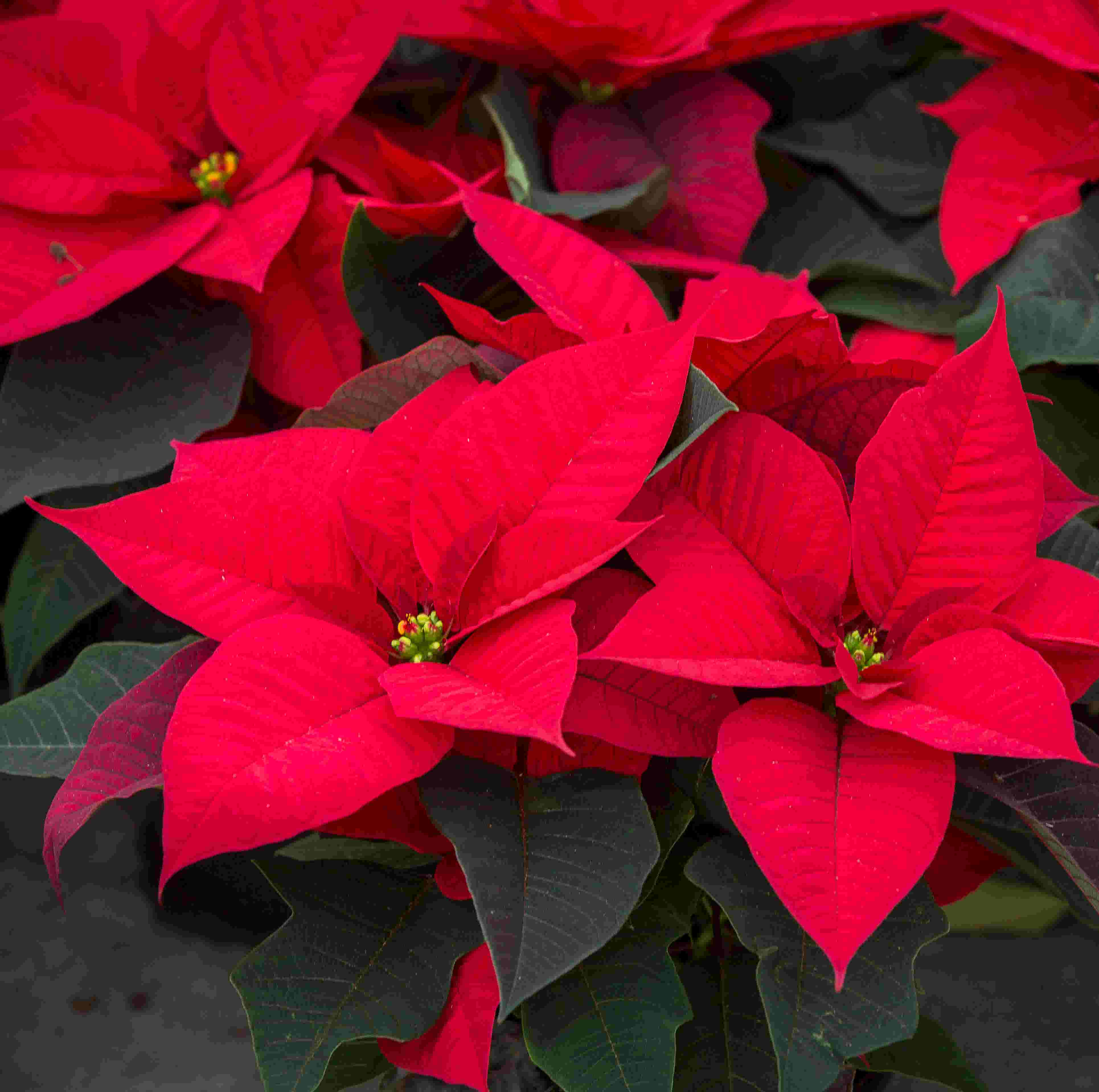 Poinsettias Are A Great Idea For Christmas Decorations