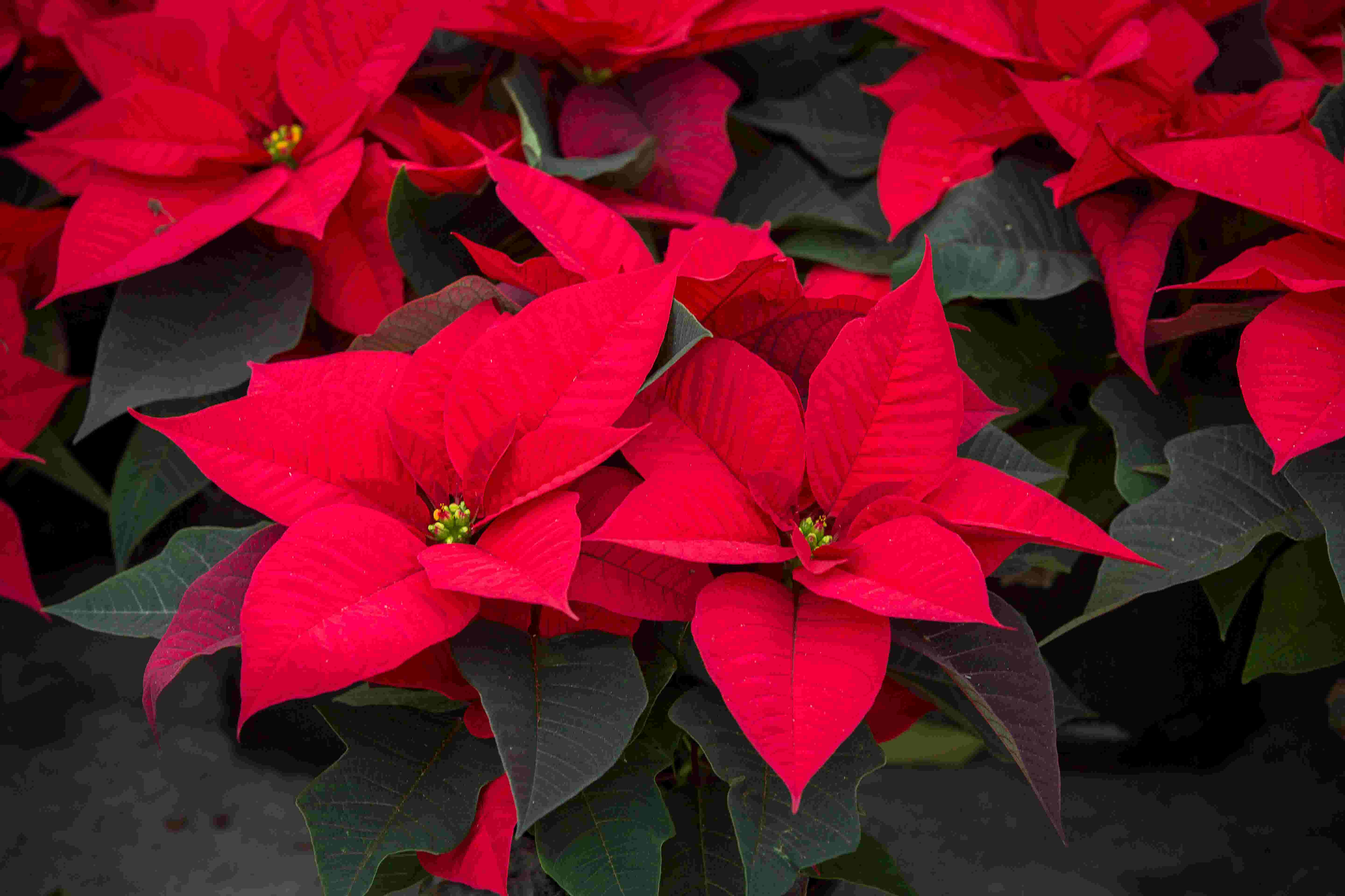Include poinsettias in your Christmas decorations