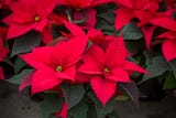Fun facts about the beloved colorful poinsettia plant, a holiday tradition.