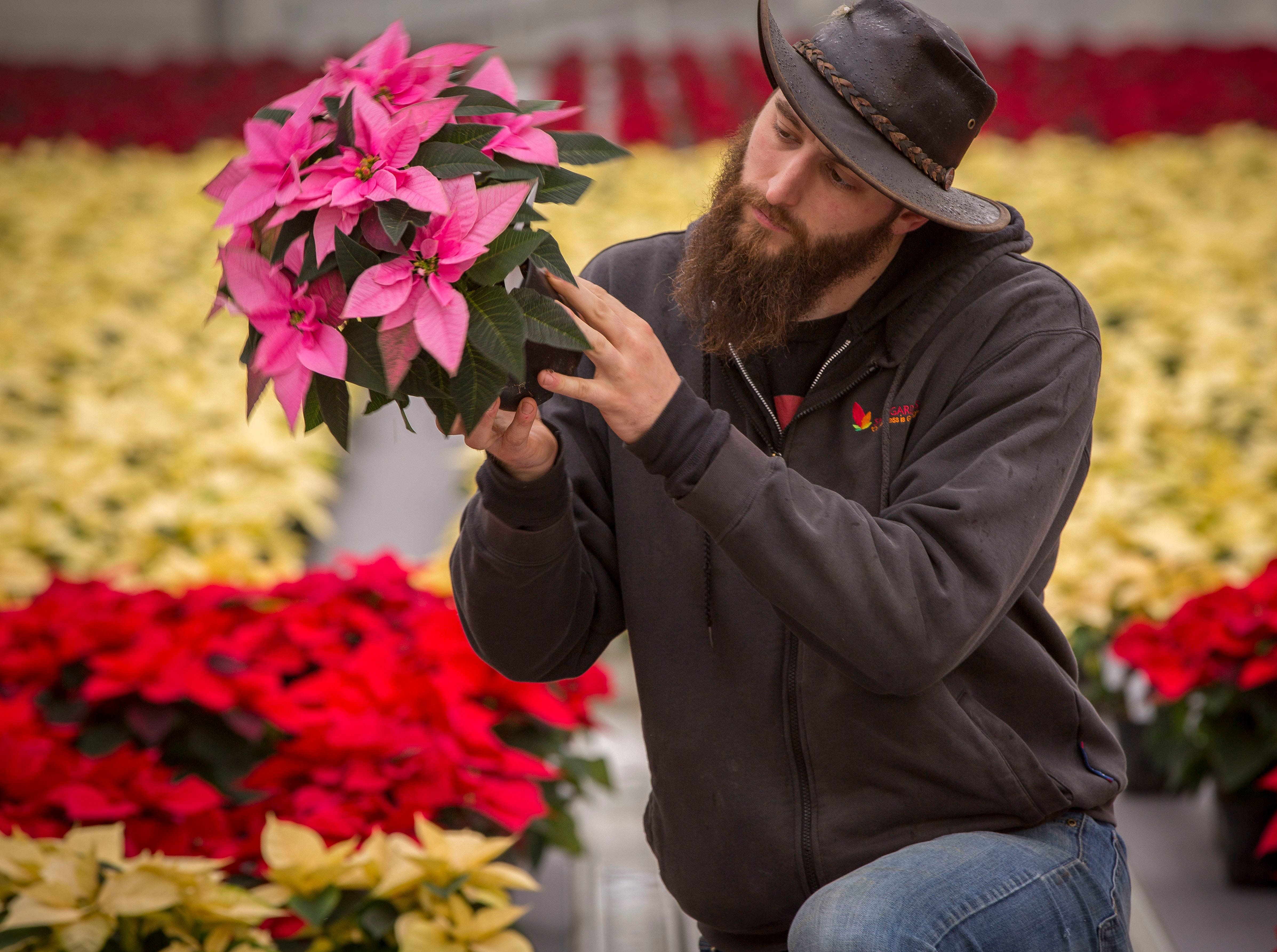 John Cunliffe, assistant head grower at Smith Gardens in Aurora, Oregon, inspects a 1.5 quart Princettia Pink poinsettia plant for the whitefly, a common poinsettia pest Friday November 30, 2018. Smith Gardens uses a biological approach to handling the insect by introducing beneficial predatory insects to fight the flies and reduce the need for pesticides. Cunliffe is inspecting the plants before they are packaged for one of the last shipments of the year in early December. The plants go to local big box stores.
