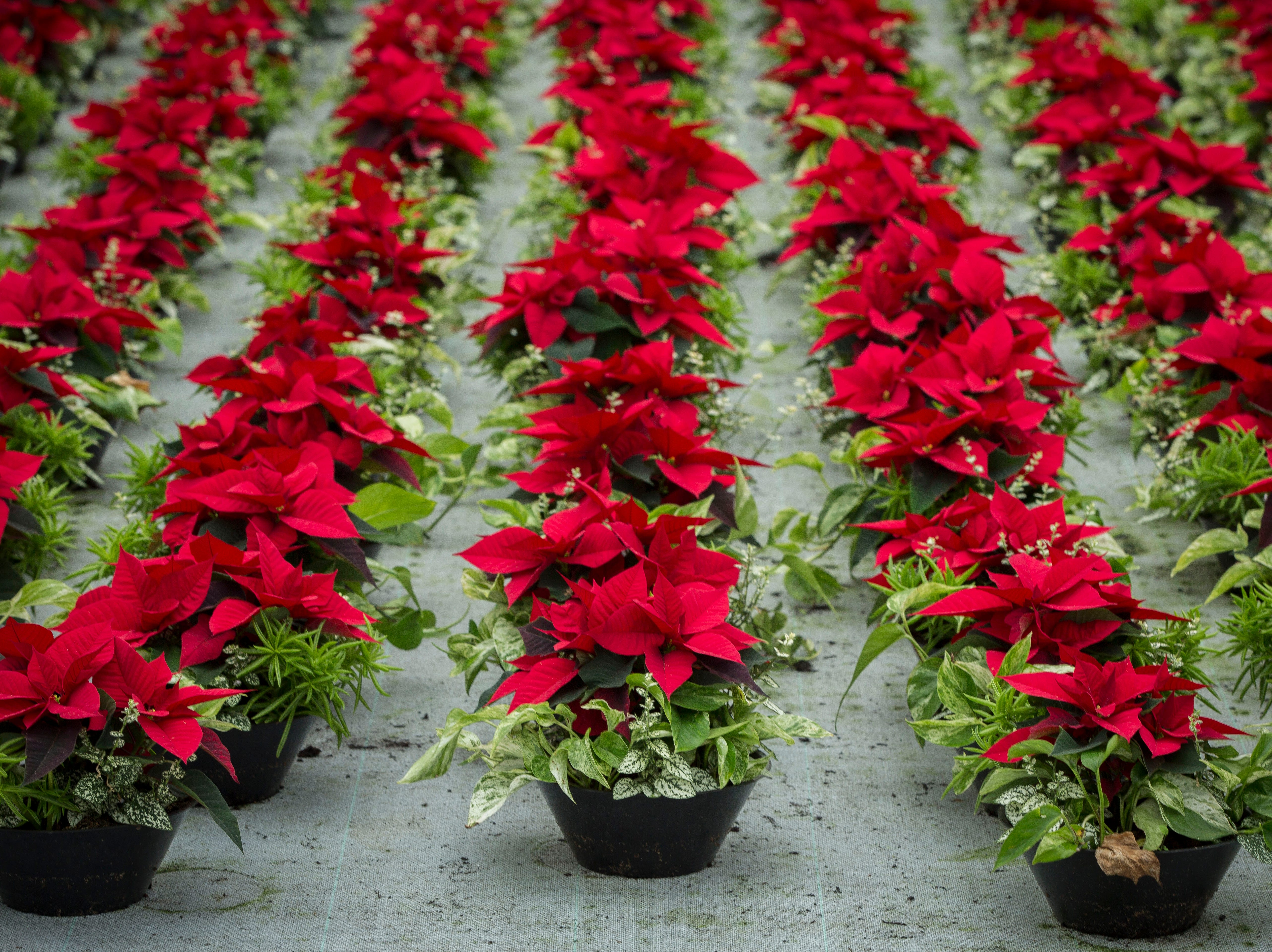 A traditional 1.5 quart red poinsettia plant is ready for packaging at Smith Gardens in Aurora, Oregon Friday November, 30, 2018. The plants will be packaged for one of the last shipments of the year in early December and be delivered to local big box stores.