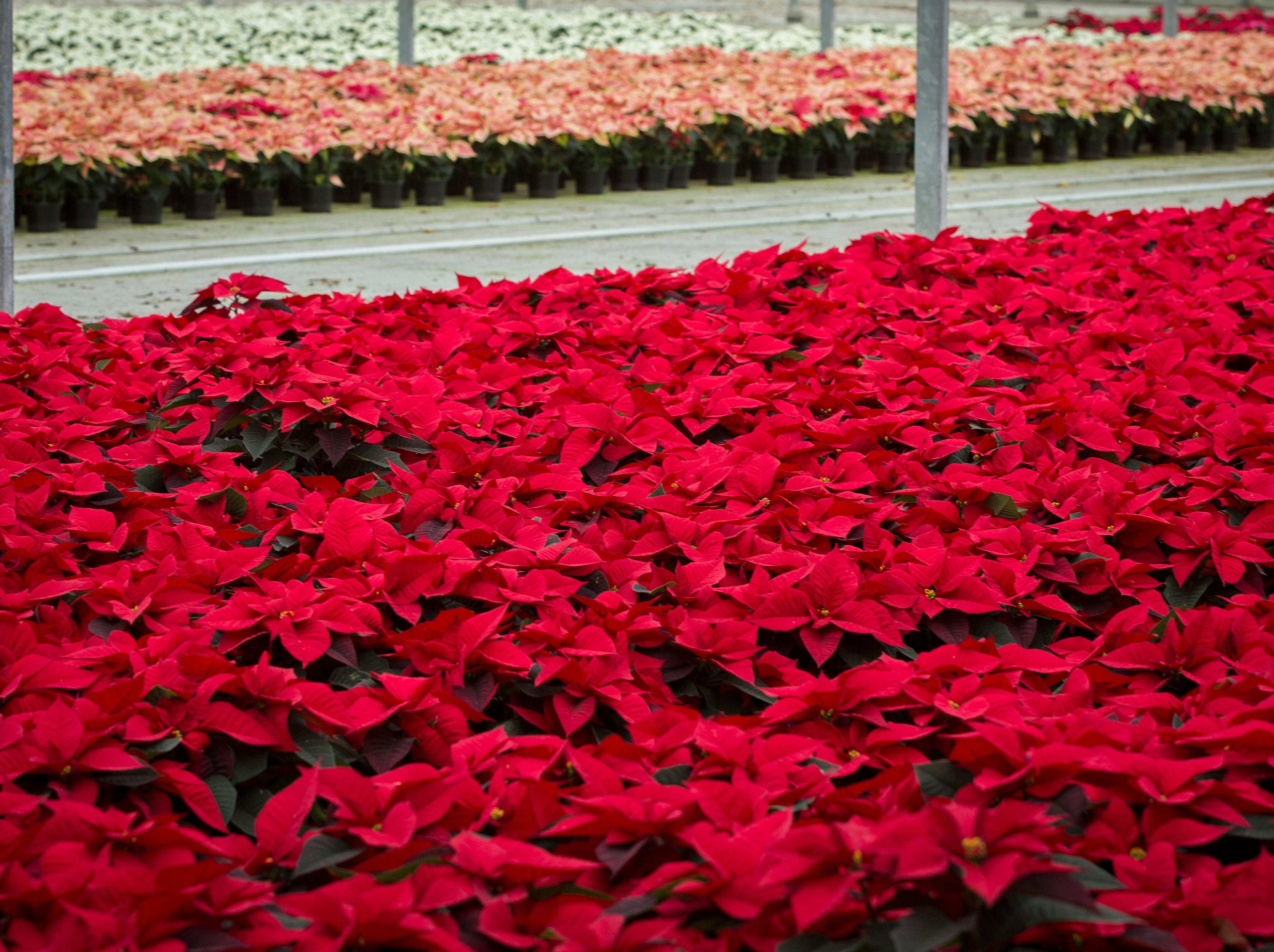 Traditional 1.5 quart red poinsettias along with other varieties are ready for packaging at Smith Gardens in Aurora, Oregon Friday November, 30, 2018. The plants will be packaged for one of the last shipments of the year in early December and be delivered to local big box stores.