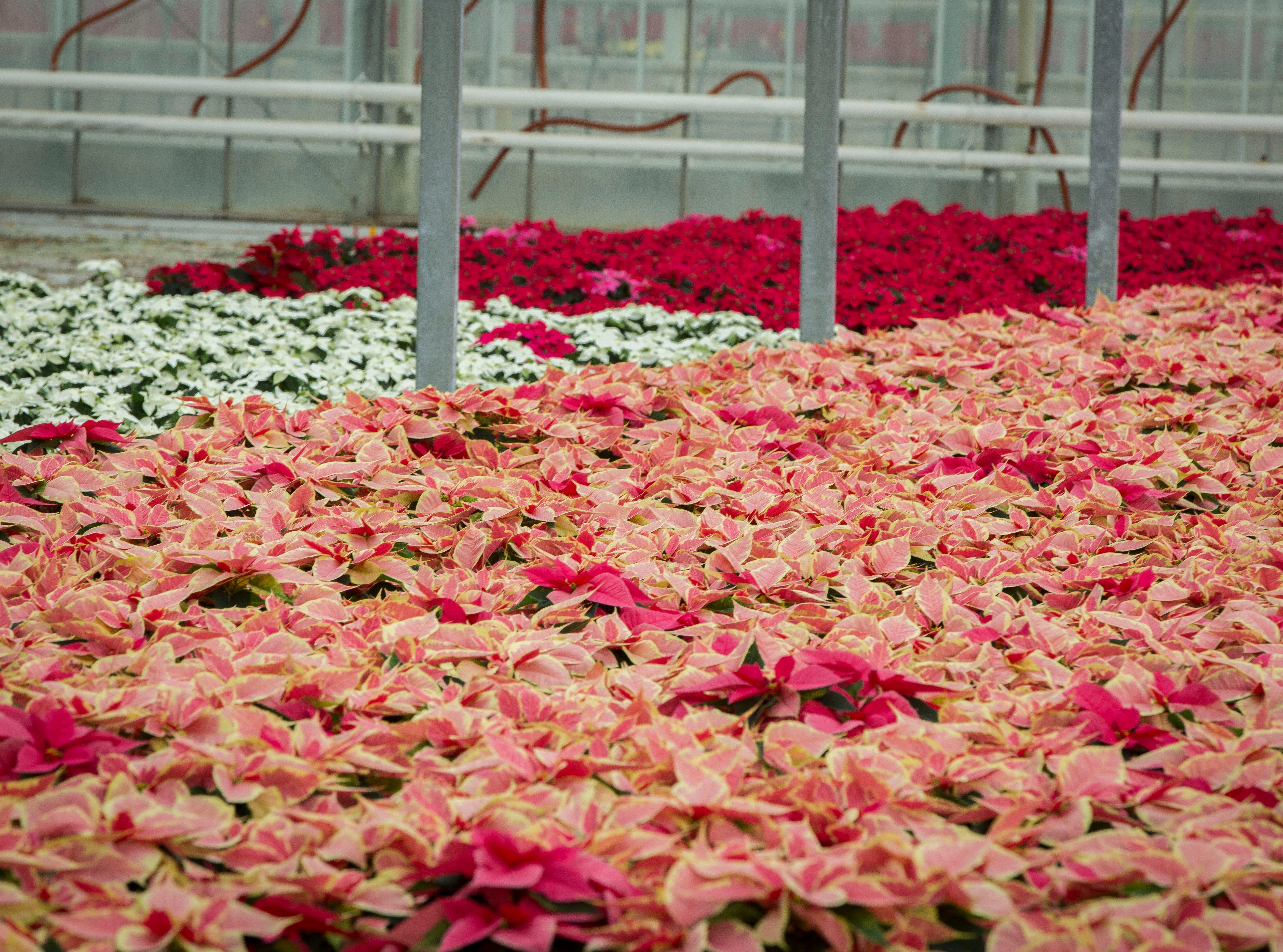 Poinsettia plants are ready for packaging at Smith Gardens in Aurora, Oregon Friday November, 30, 2018. The plants will be packaged for one of the last shipments of the year in early December and be delivered to local big box stores.