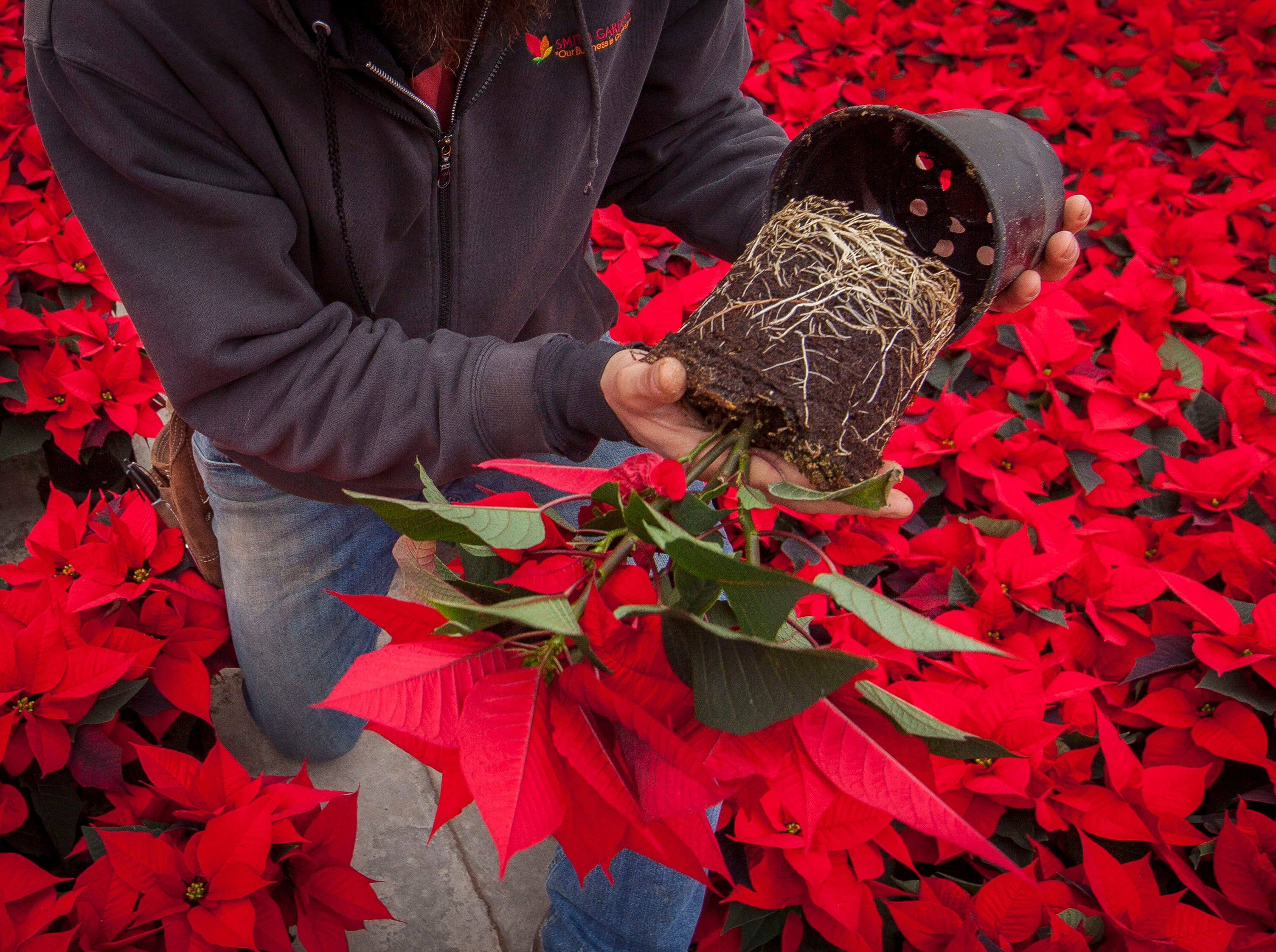 John Cunliffe, assistant head grower at Smith Gardens in Aurora, Oregon, inspects a 1.5 quart red poinsettia plant for root quality Friday November 30, 2018. Cunliffe is inspecting the plants before they are packaged for one of the last shipments of the year in early December. The plants go to local big box stores.