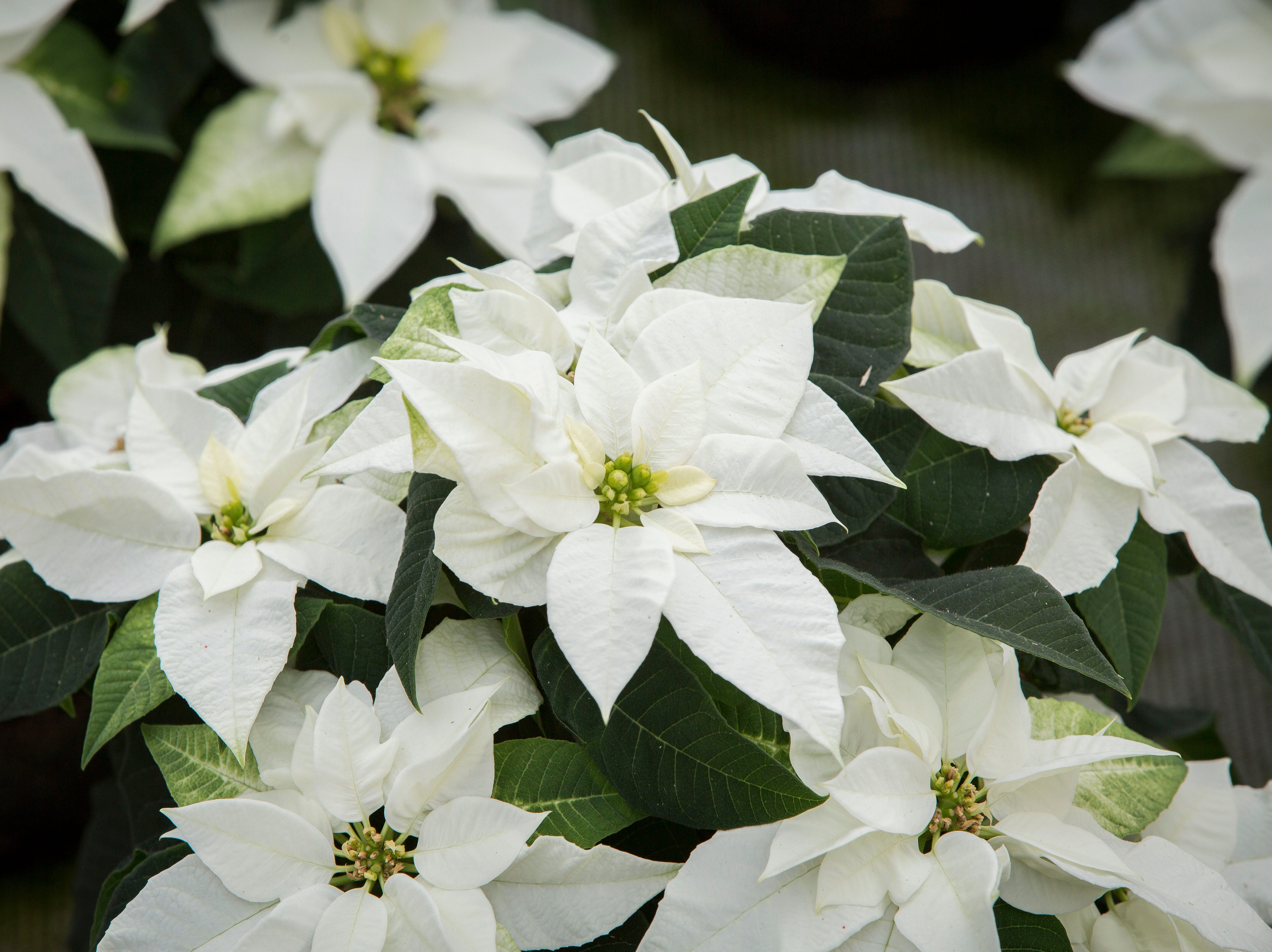 The Princettia White is a hybrid variety of traditional poinsettia plants, popular among millennials, are ready for packaging at Smith Gardens in Aurora, Oregon Friday November, 30, 2018. The plants will be packaged for one of the last shipments of the year in early December and be delivered to local big box stores.