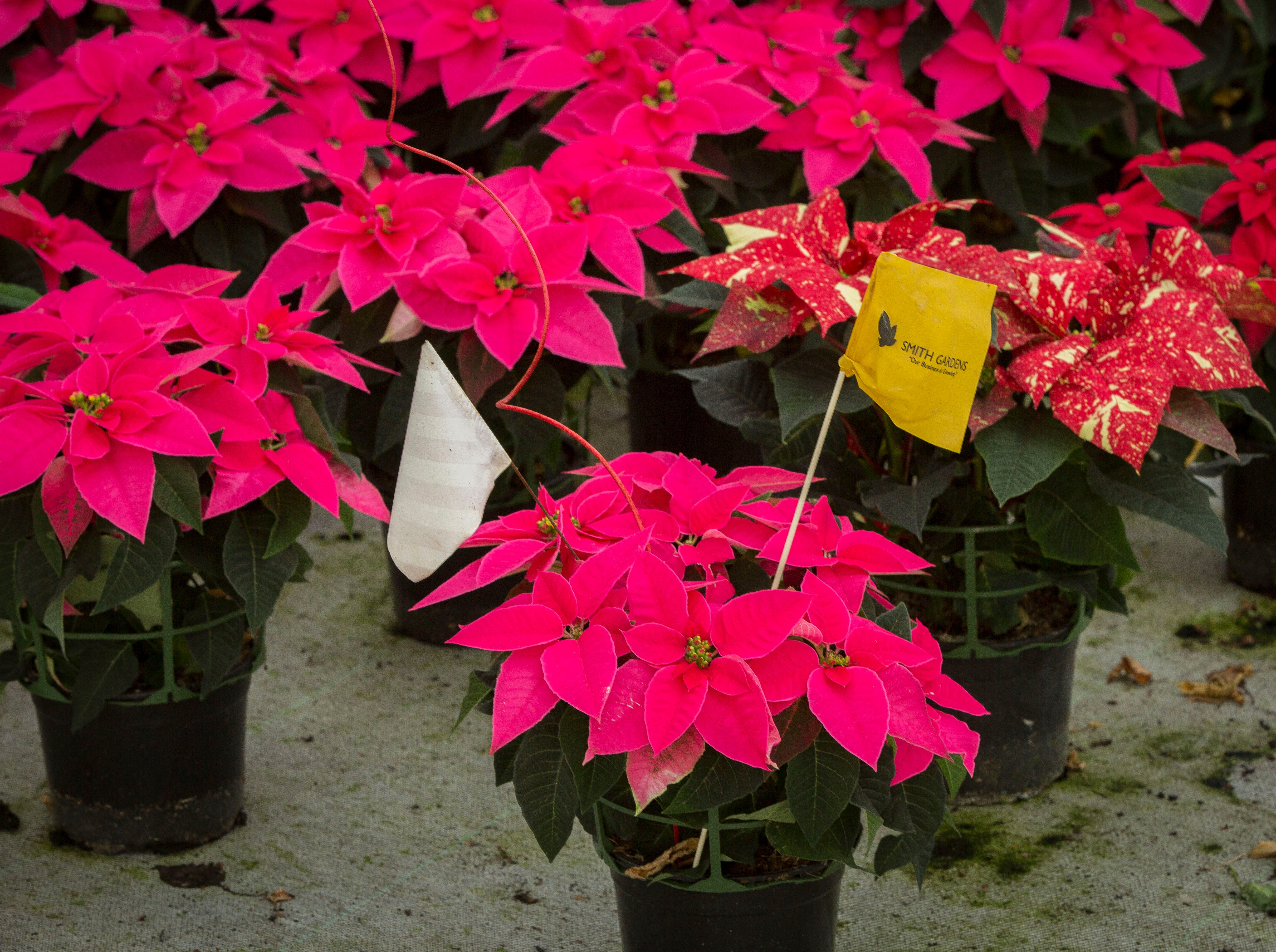 The Princettia Pink is a hybrid variety of traditional poinsettia plants, popular among millennials, are ready for packaging at Smith Gardens in Aurora, Oregon Friday November, 30, 2018. The plants will be packaged for one of the last shipments of the year in early December and be delivered to local big box stores.