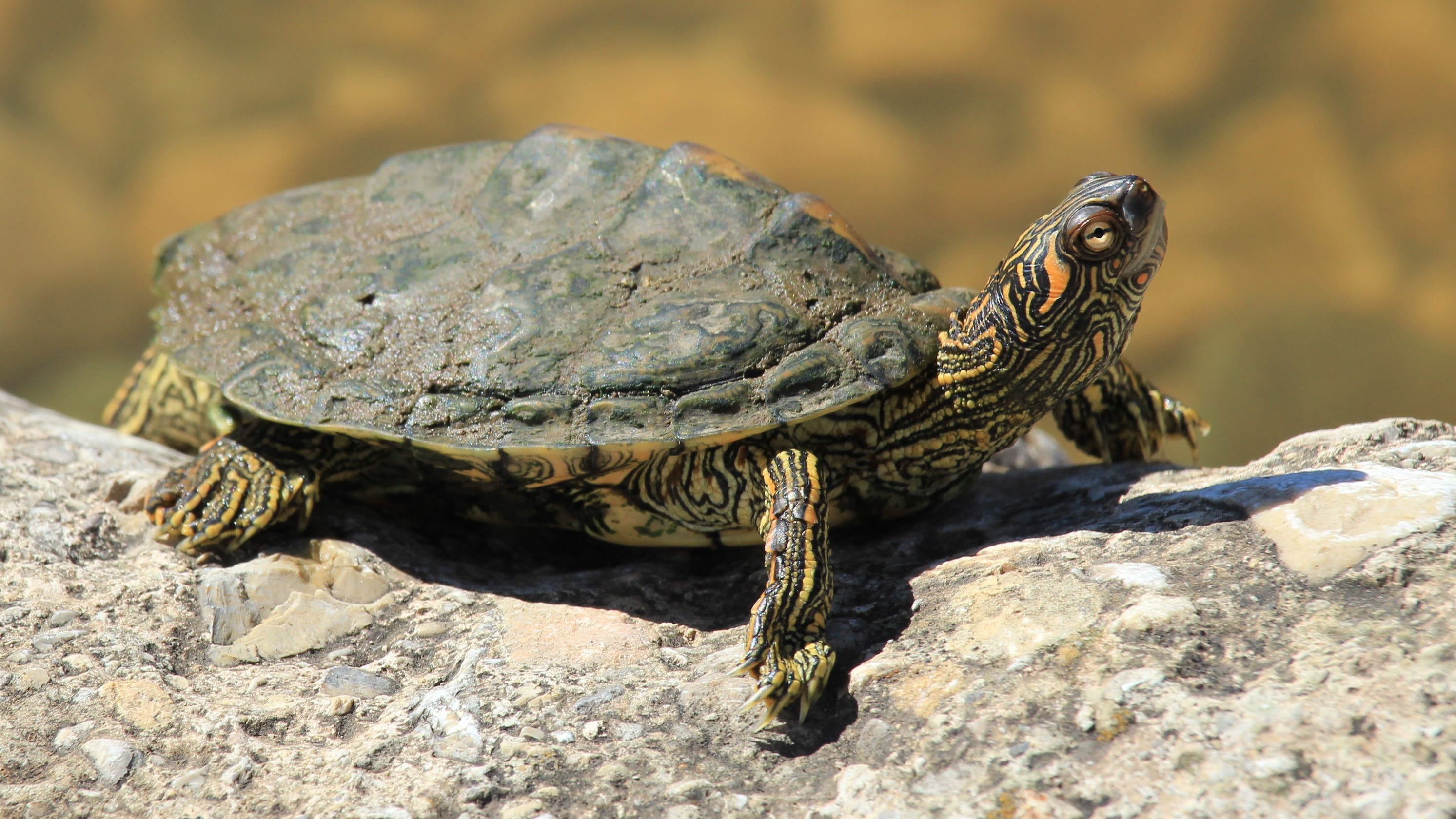 Texas Map Turtle Texas Map Turtle a small creature rarely encountered on land