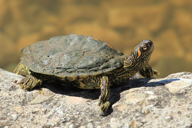 The Texas Map Turtle rarely strays far from water.